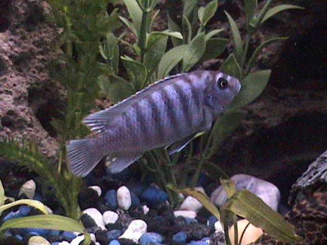 African cichlid tank as well as yellow mystery snail free image