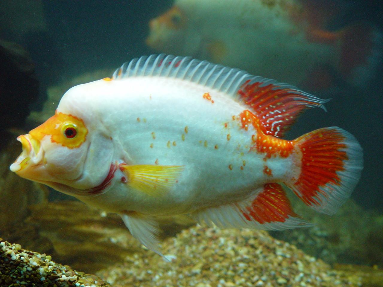 Red devil midas hybrid for Red devil fish