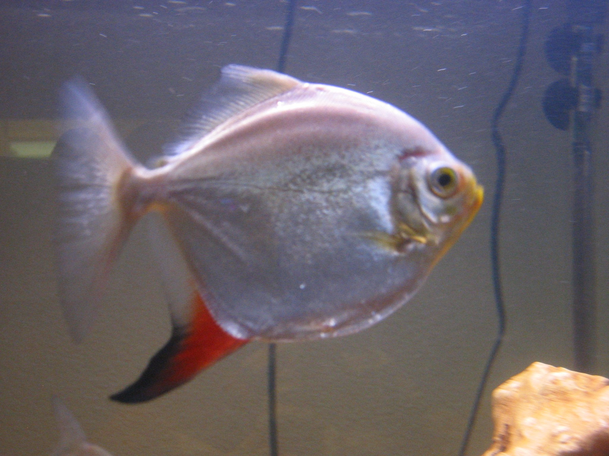 Freshwater aquarium fish silver with red fins - Redhook Silver Dollar