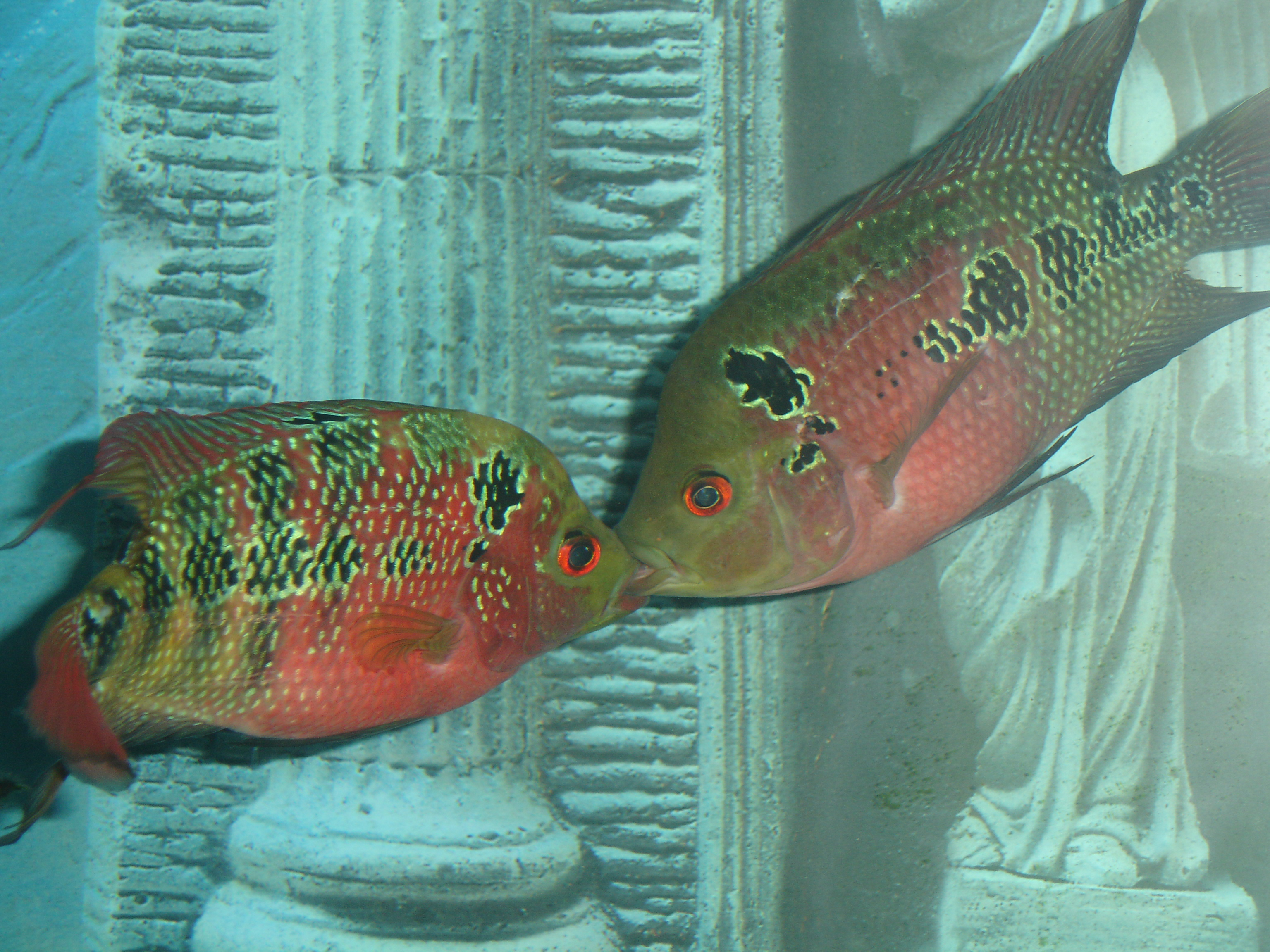 Images of Flowerhorn Breeding Male And Female - #rock-cafe