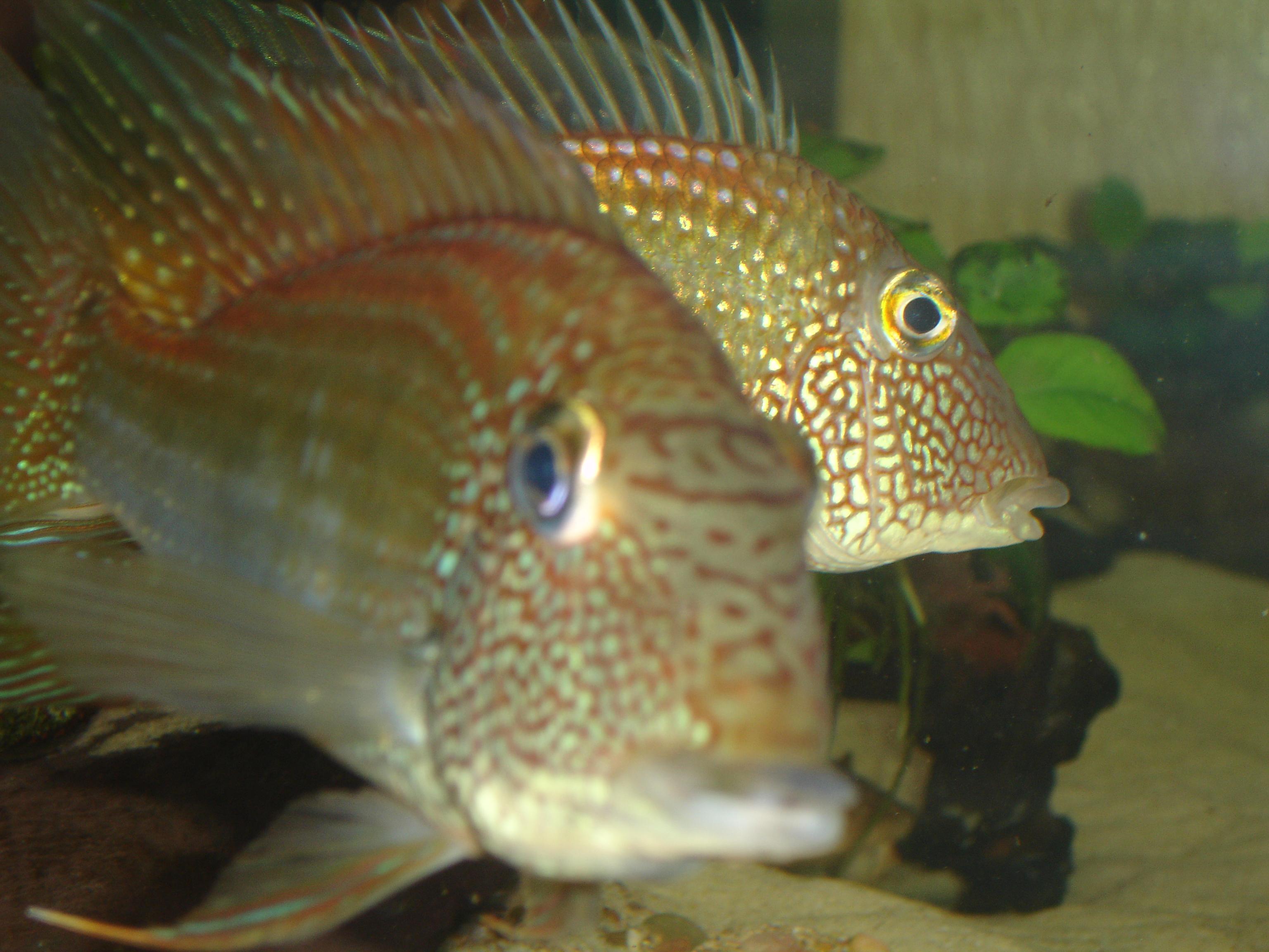 cichlids.com: earth eater