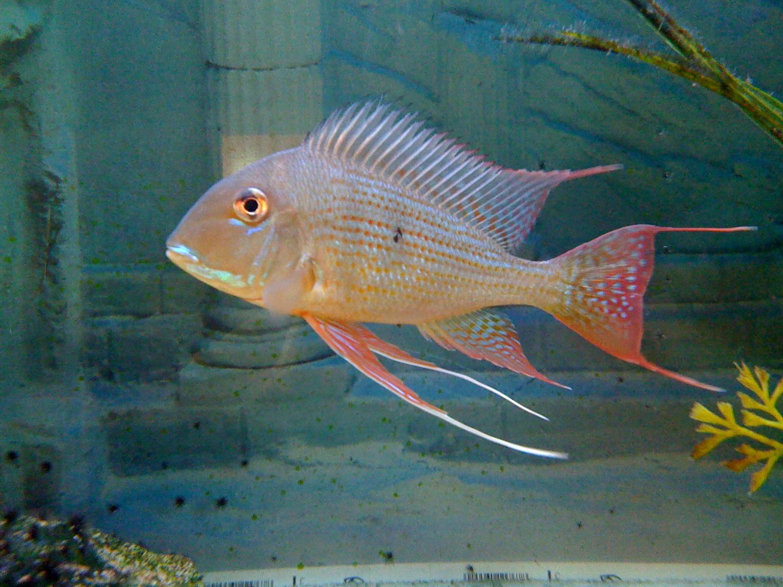 cichlids.com: Geophagus altifrons