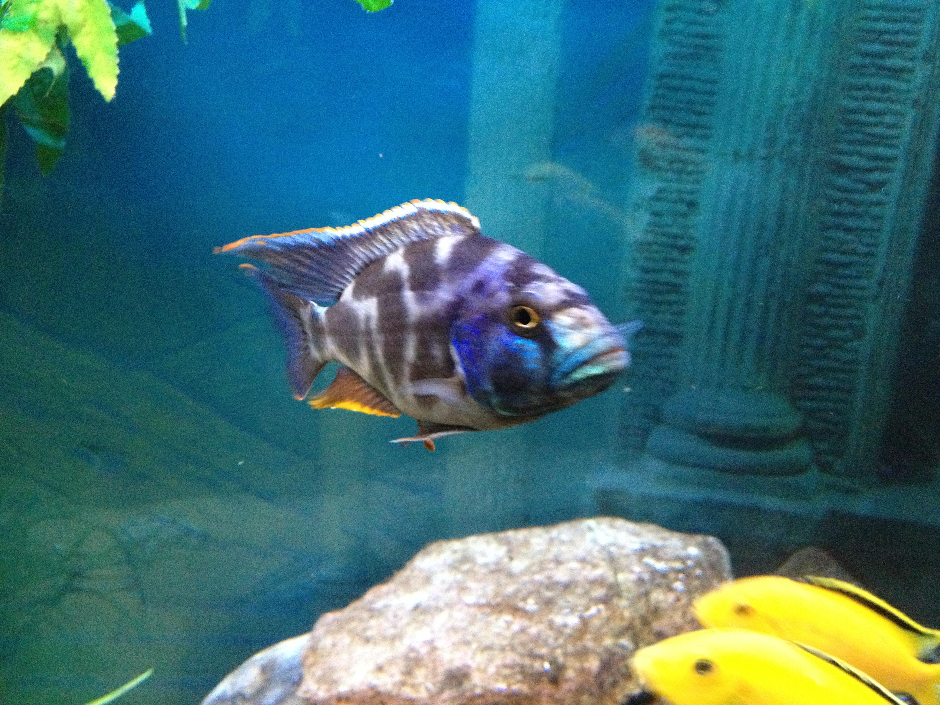cichlids.com: nimbochromis livingstonii male