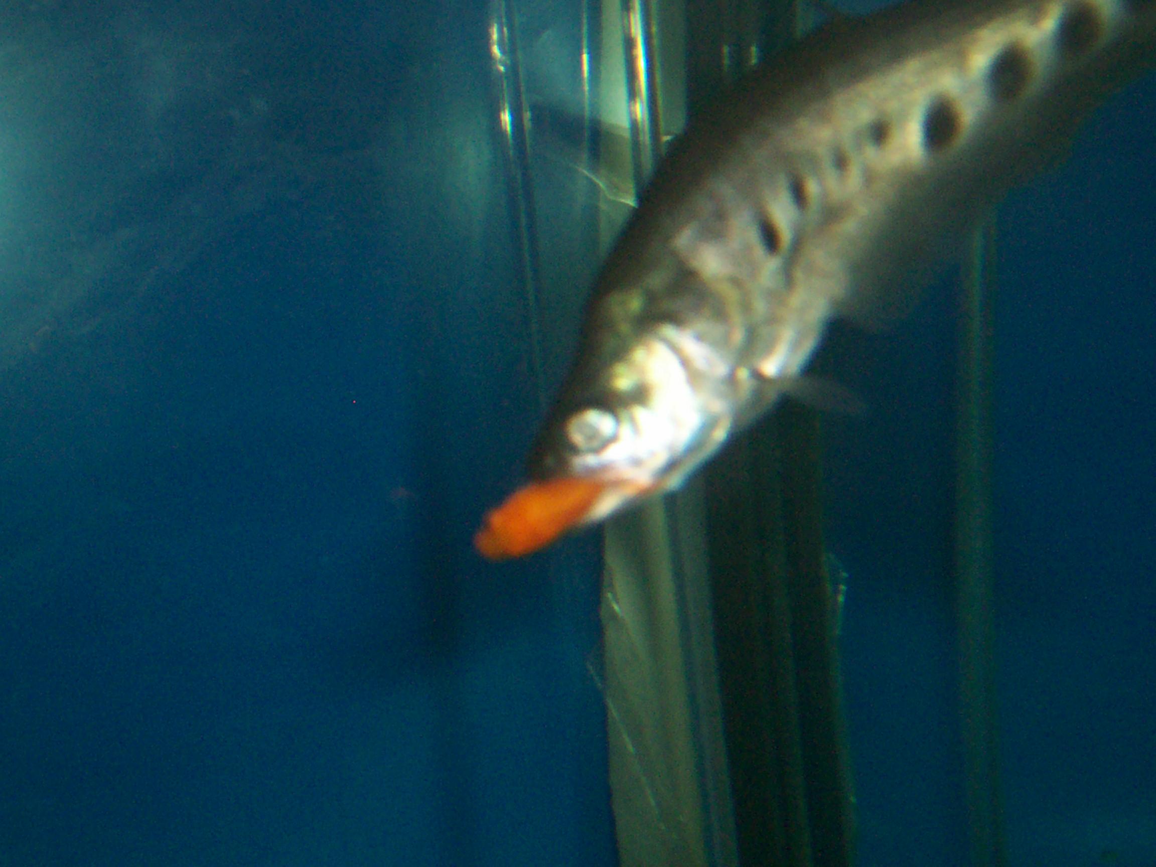 My new clown knife for Clown knife fish