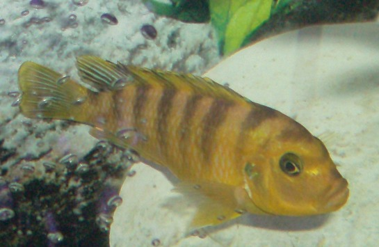 Full grown electric yellow cichlid