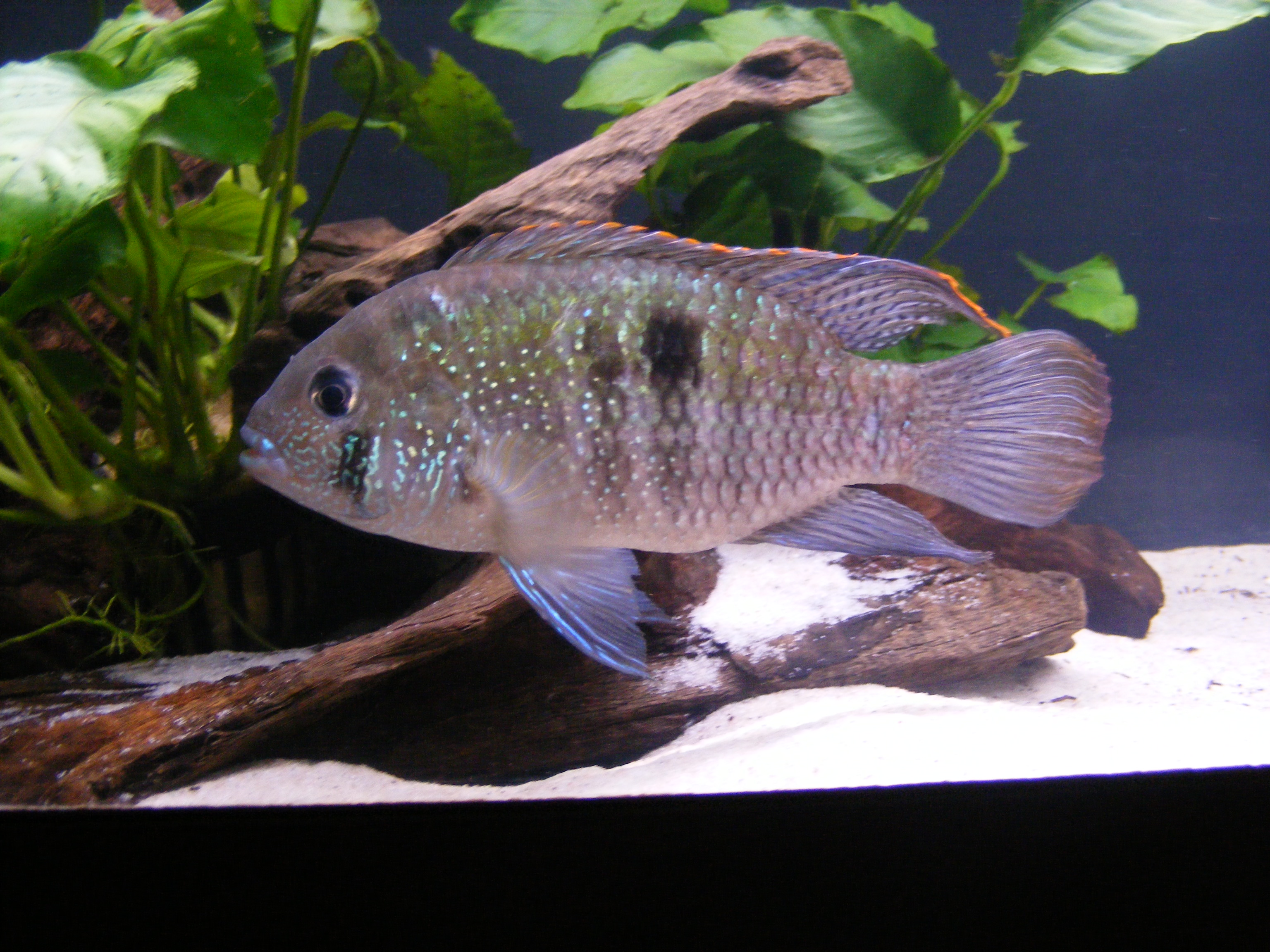 cichlids.com: My Adult Blue Acara