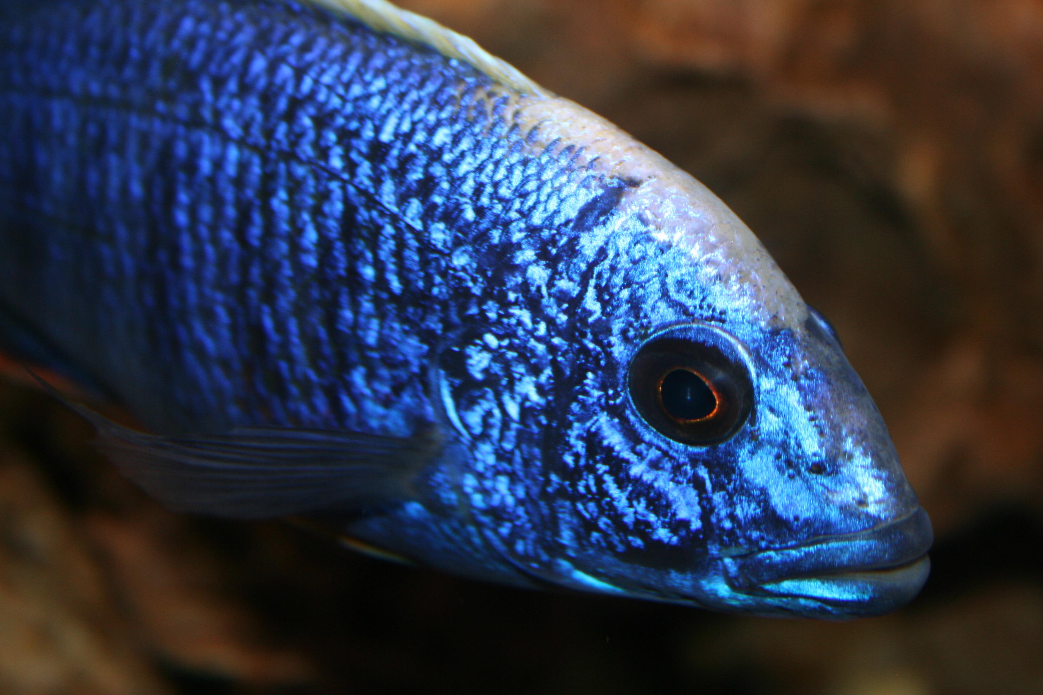 Blue Peacock Cichlid - photo#49