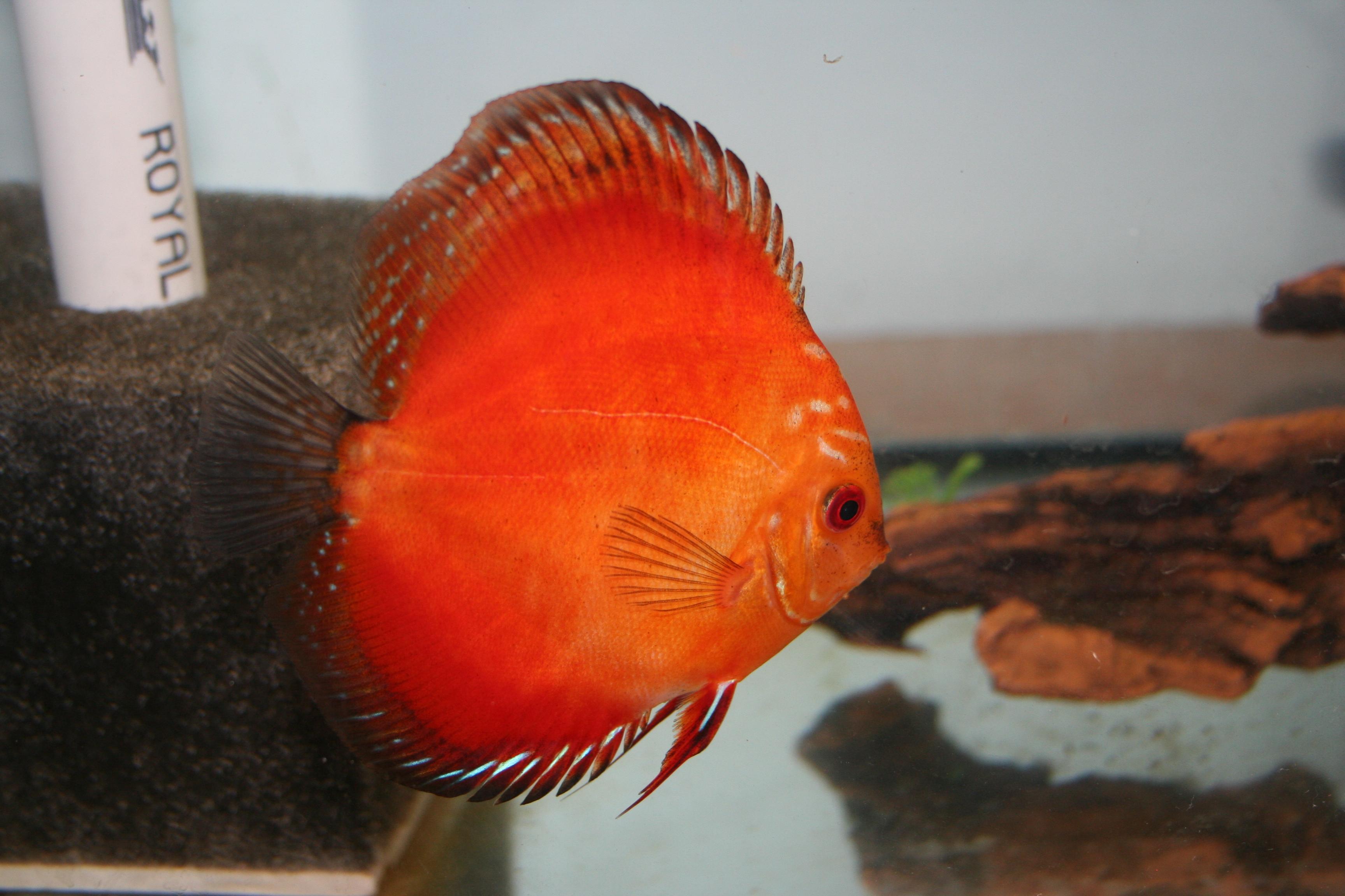 cichlids.com: Marlboro Red Discus