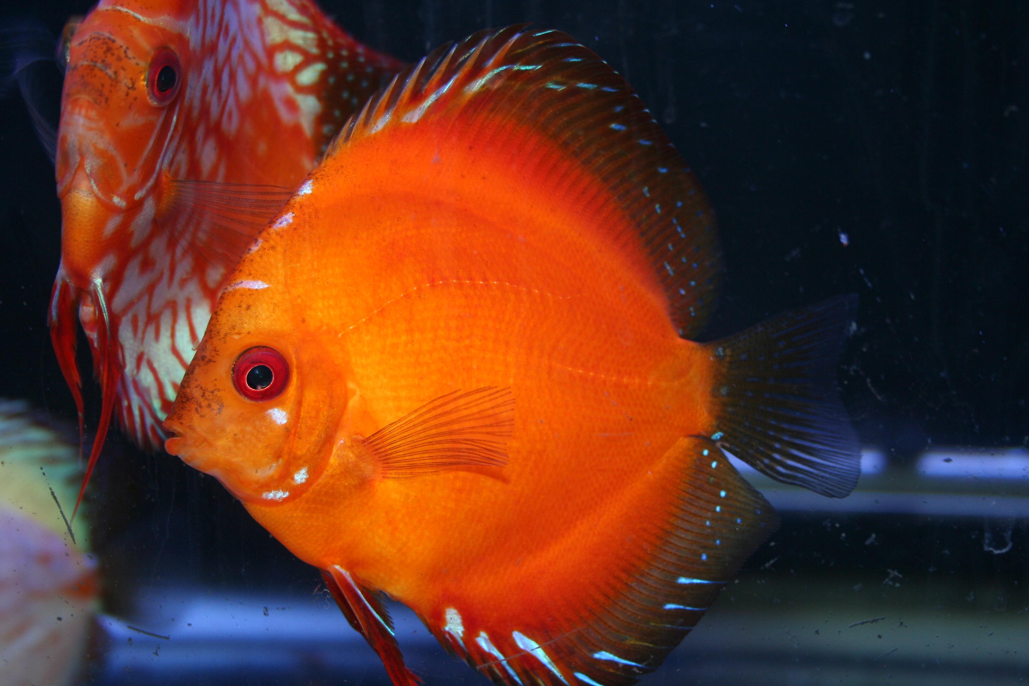 cichlids.com: Fire Red Discus