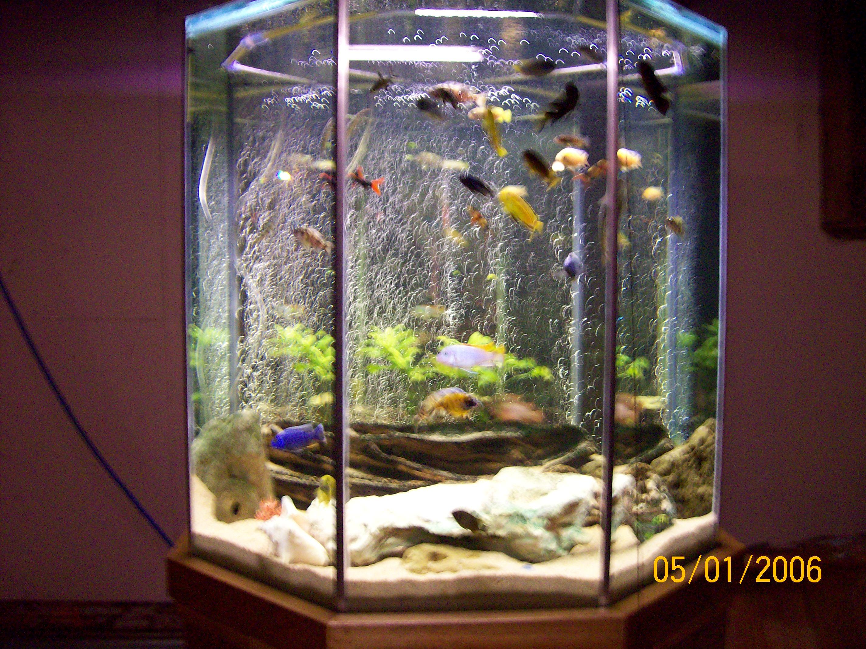 cichlids.com: my 550 litre octagon tank