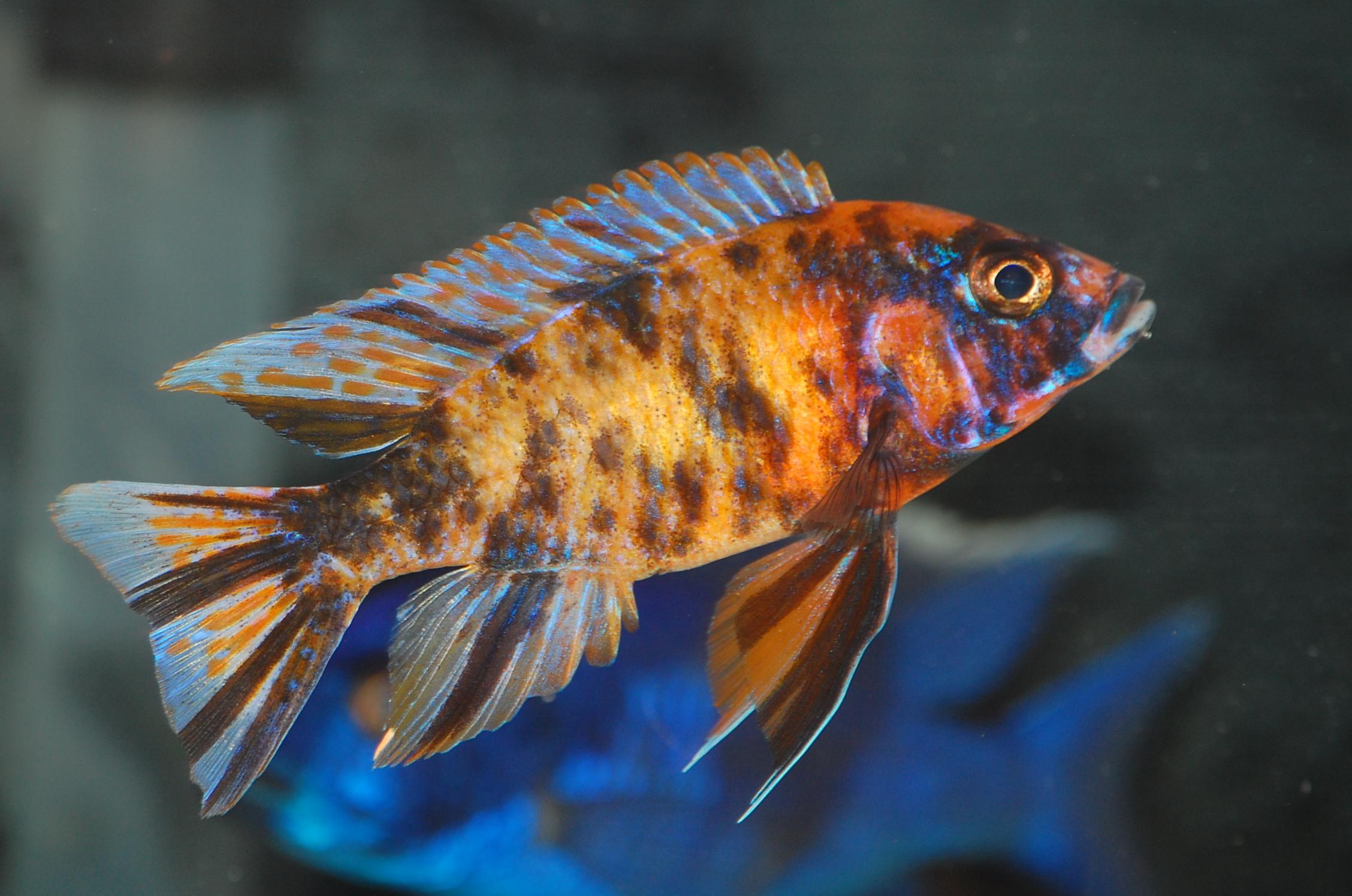cichlids.com: Orange OB Peacock