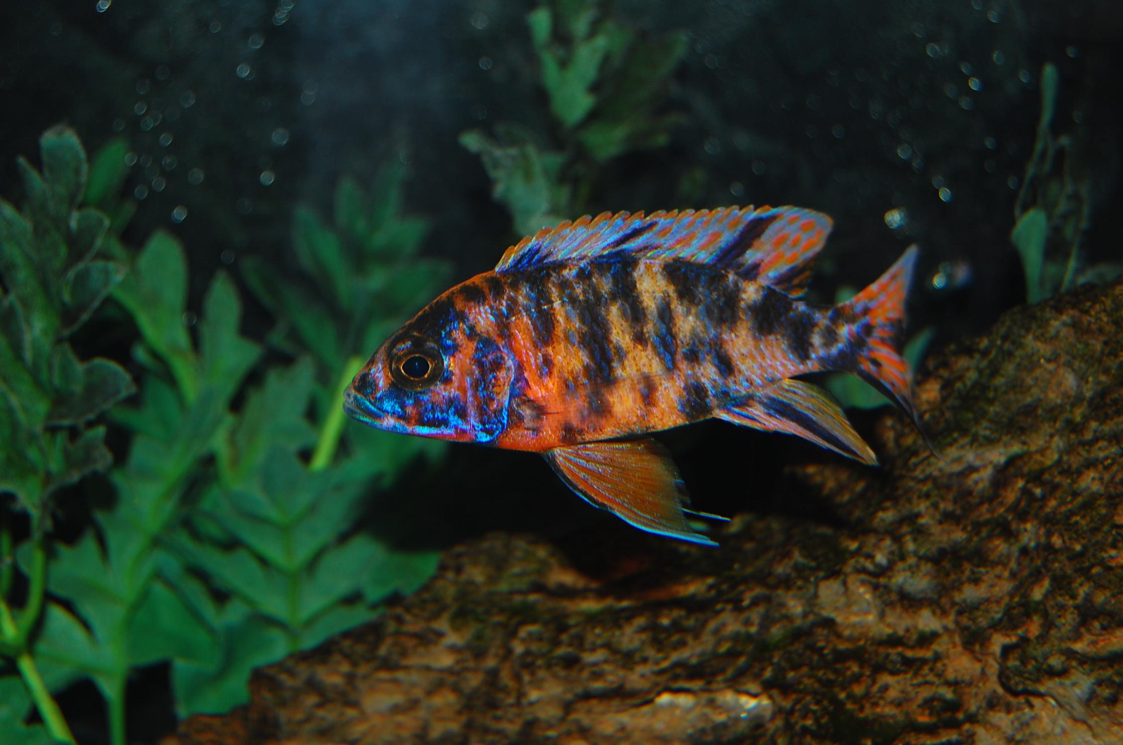 cichlids.com: Orange OB Peacock.