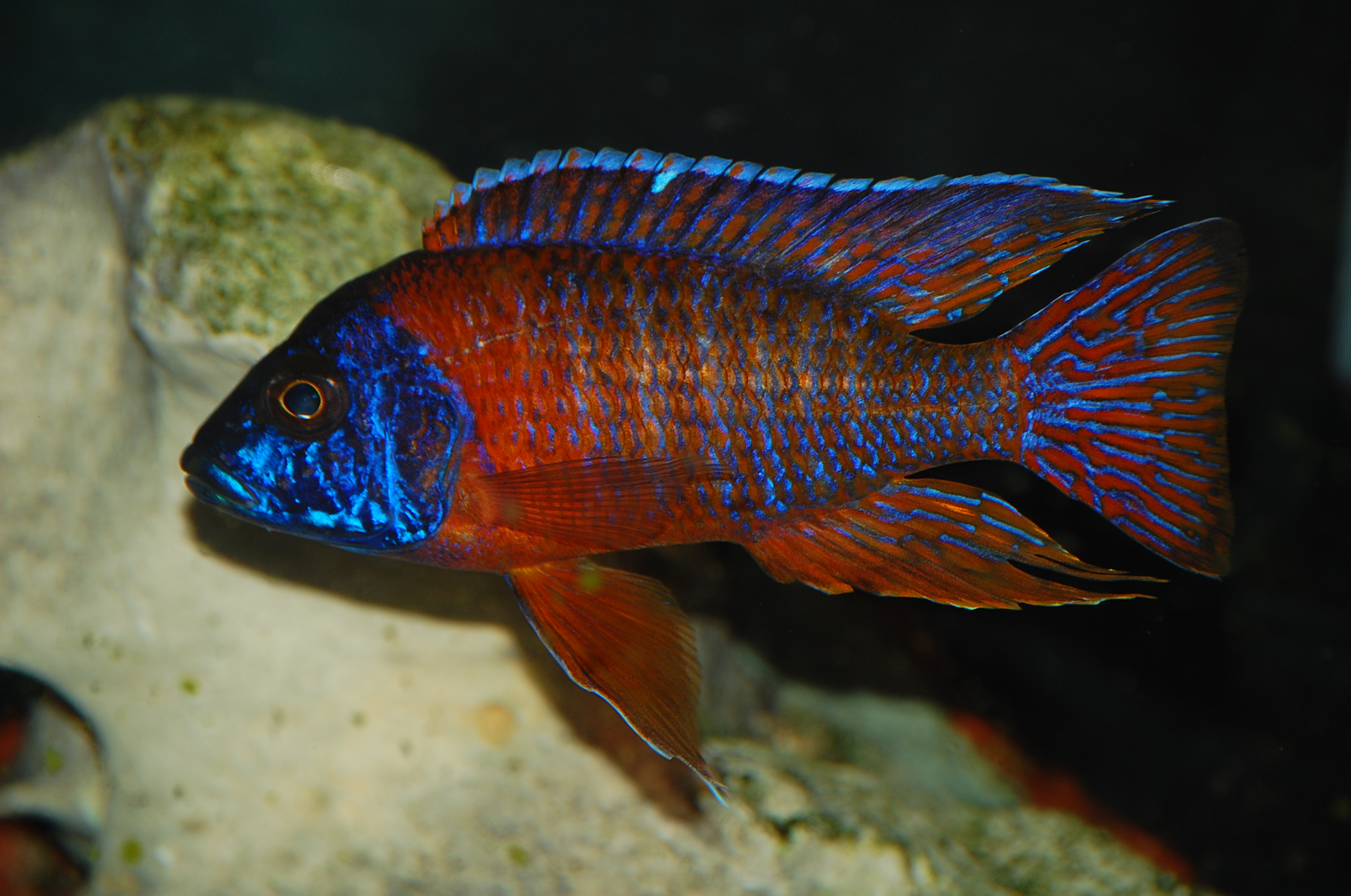 Rubin Red Peacock Cichlid
