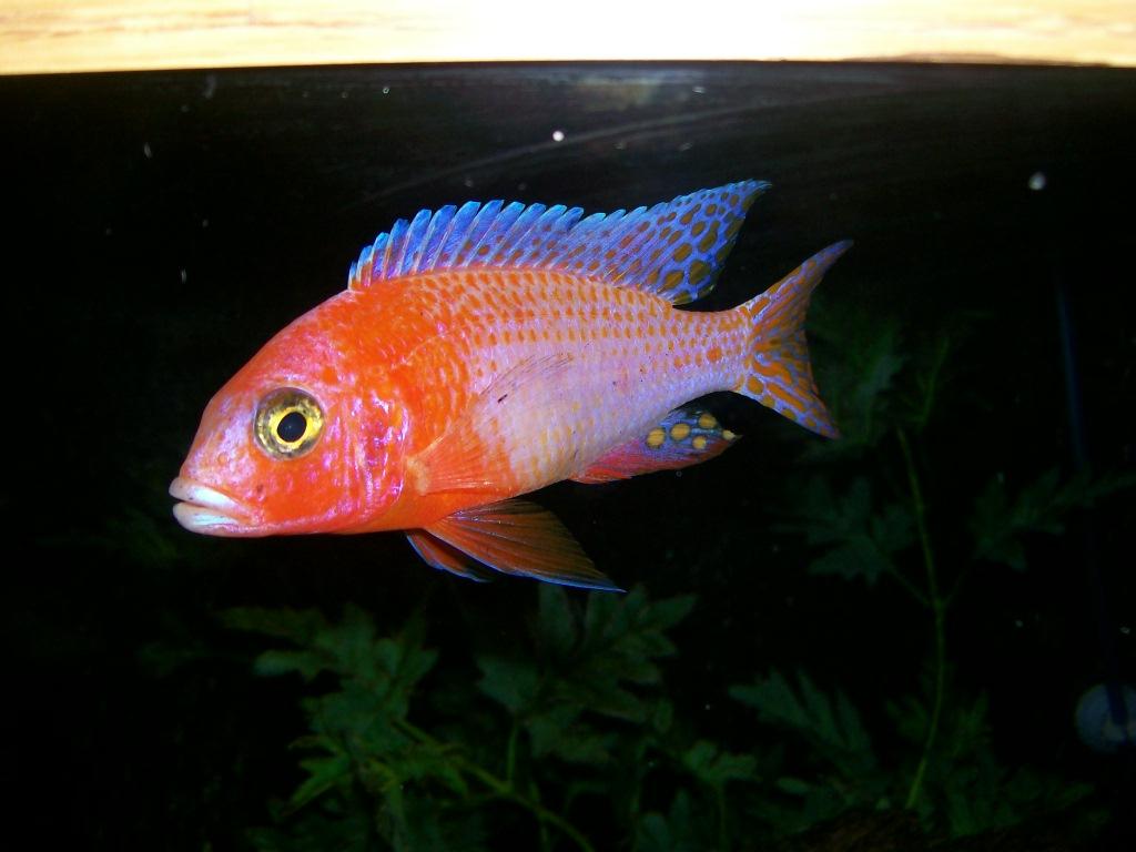 Dragon Blood Peacock Cichlid cichlids.com: D...