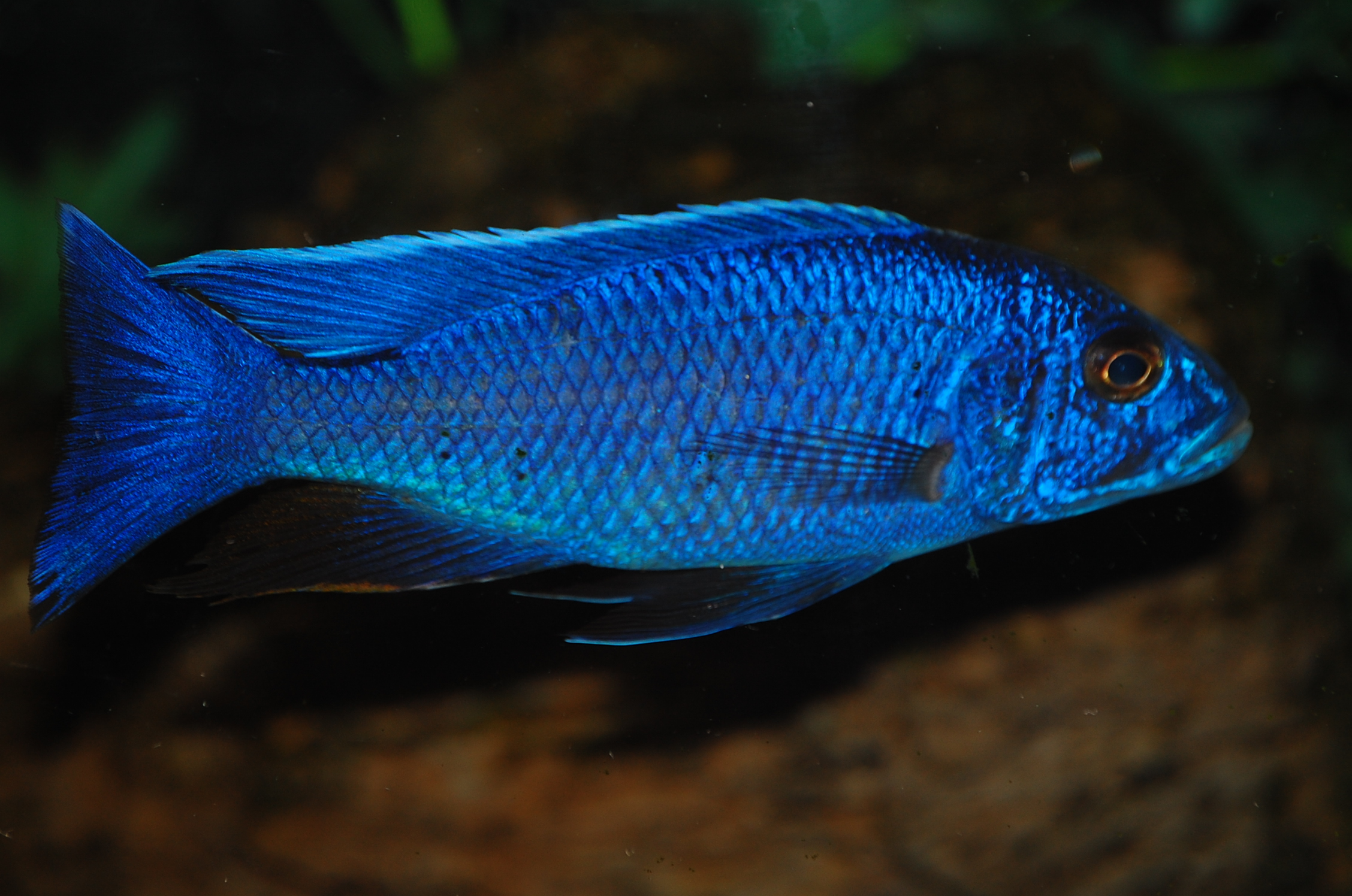 electric blue african cichlid-#5