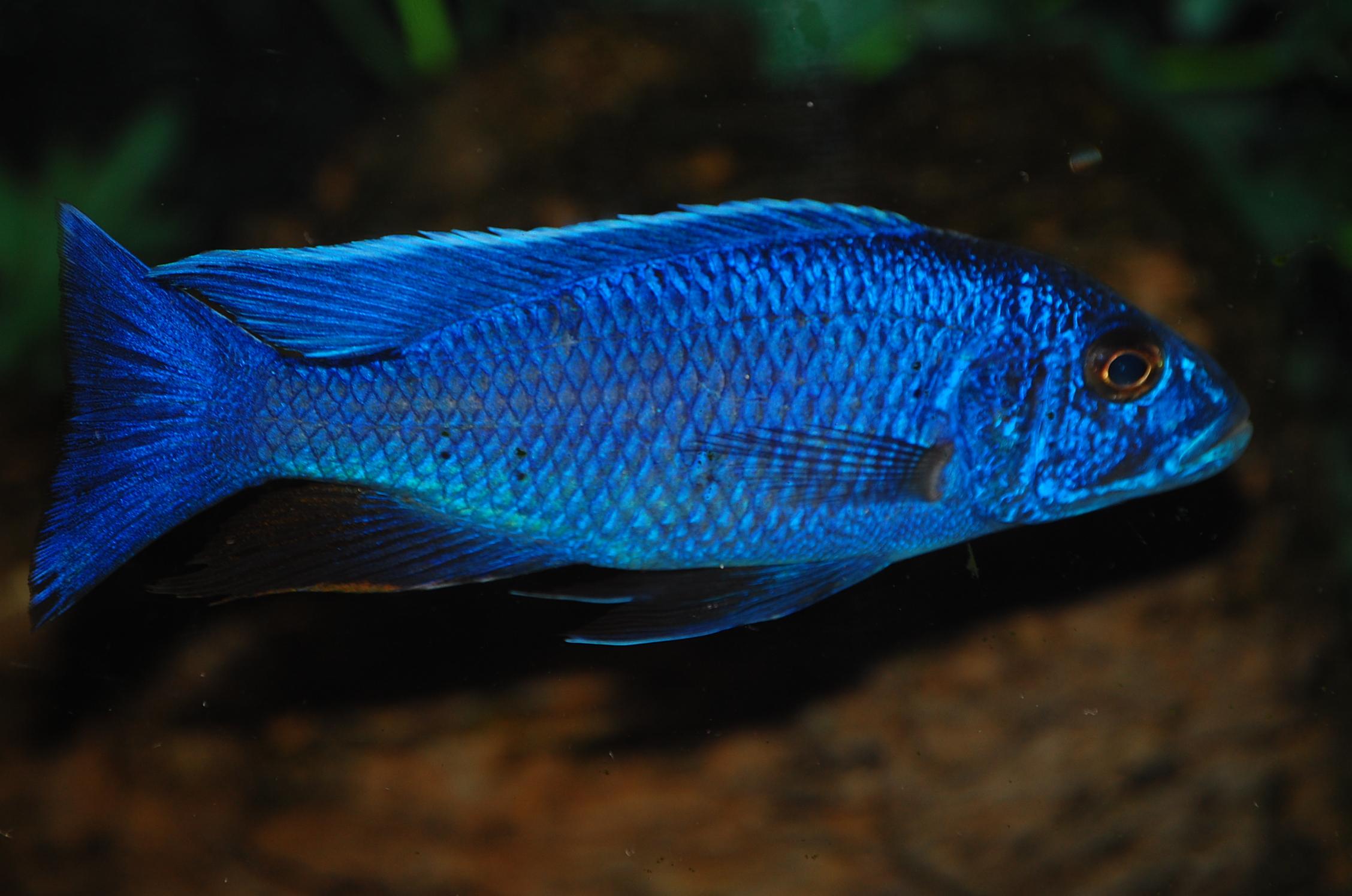 cichlids.com: Electric Blue..