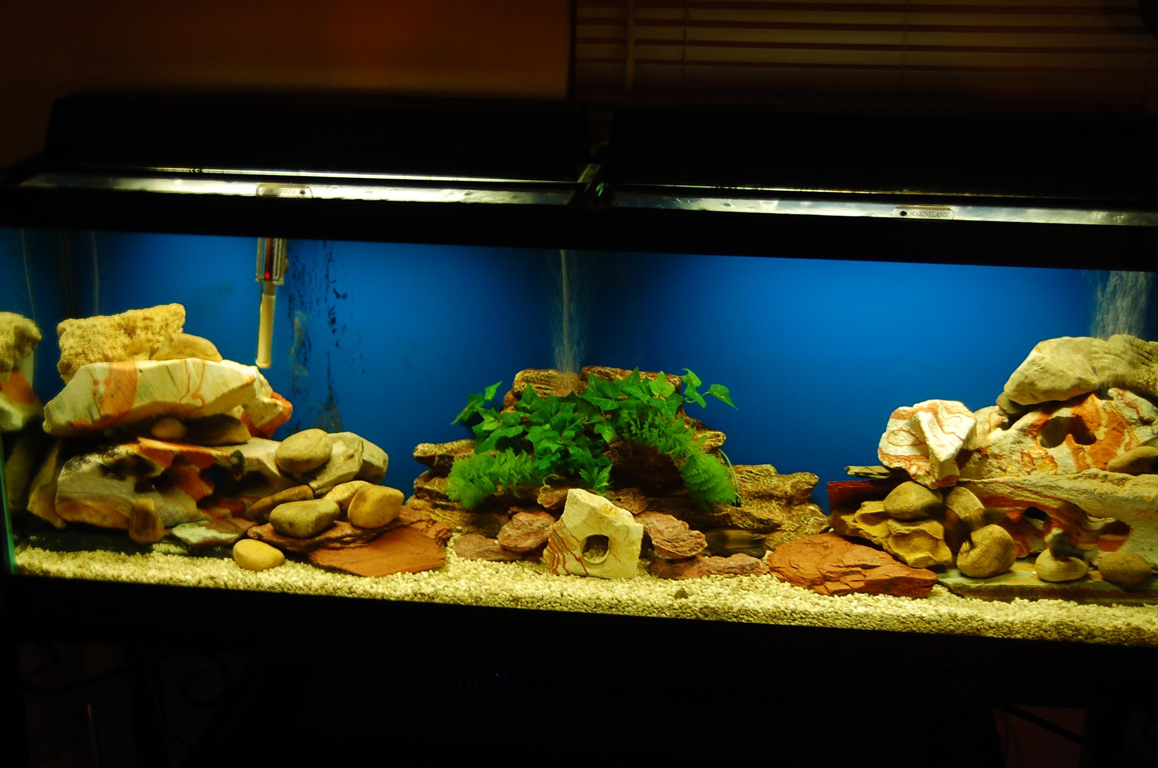 Cichlids Com 55 Gallon Tropheus Tank