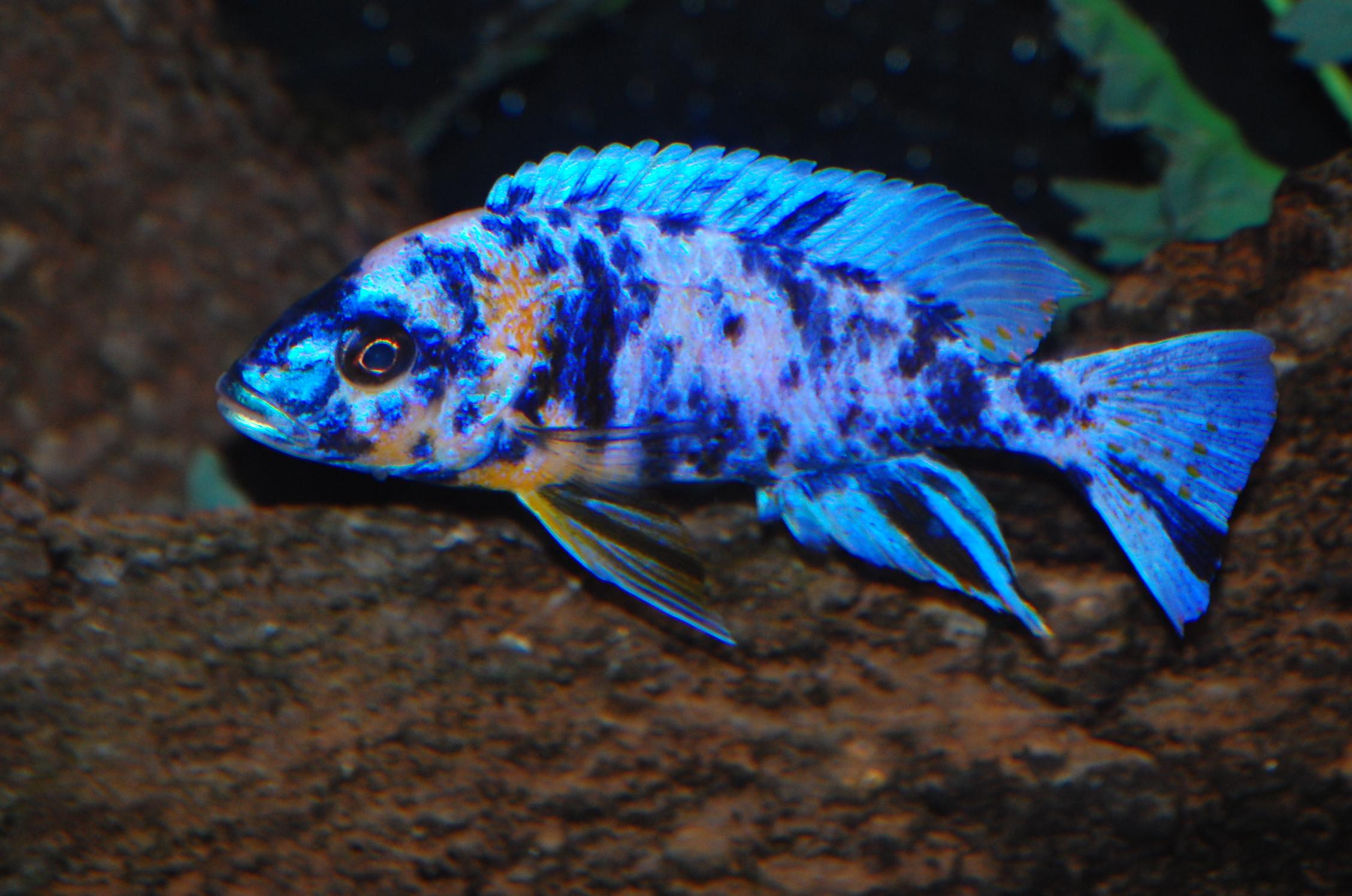 cichlids.com: Blue OB Peacock