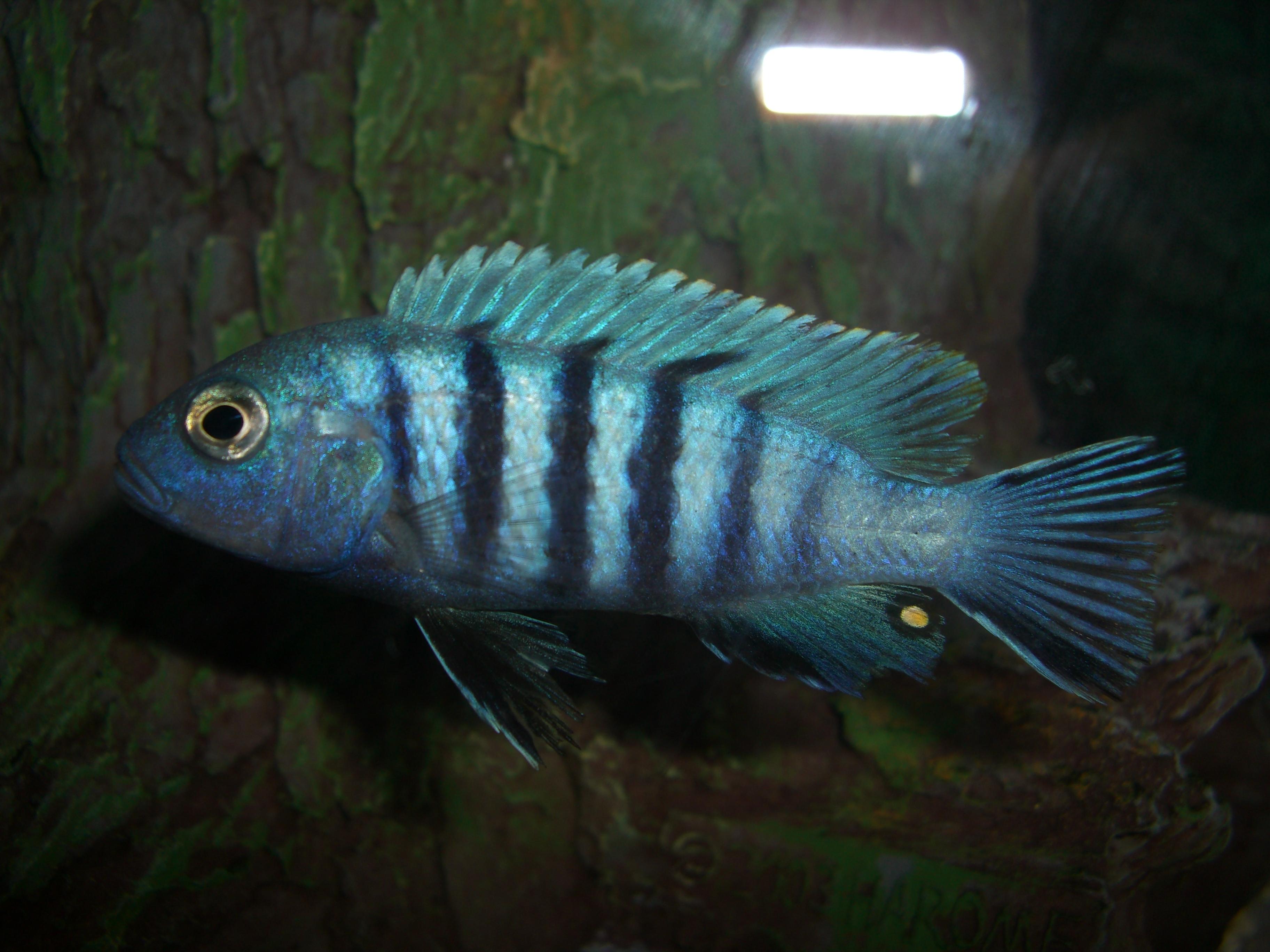 cichlids.com: Blue Cichlid