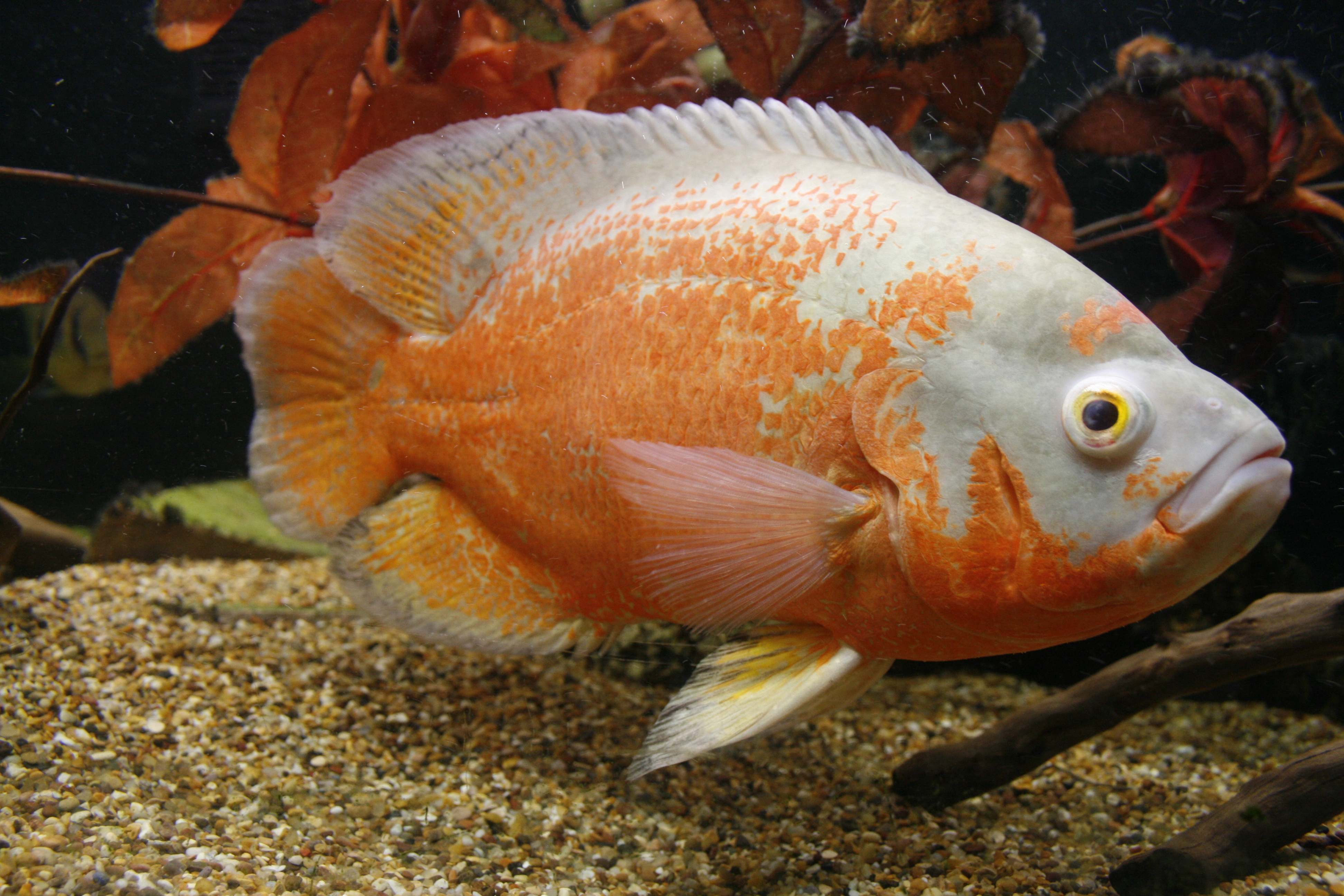 20947037 further 150707 Salvation Fish Canada First Nations Animals Conservation World likewise Betta Fish Fish moreover Johanna Mendillo Alaska Bound July 13 2012 as well Severum for sale. on oscar fish species