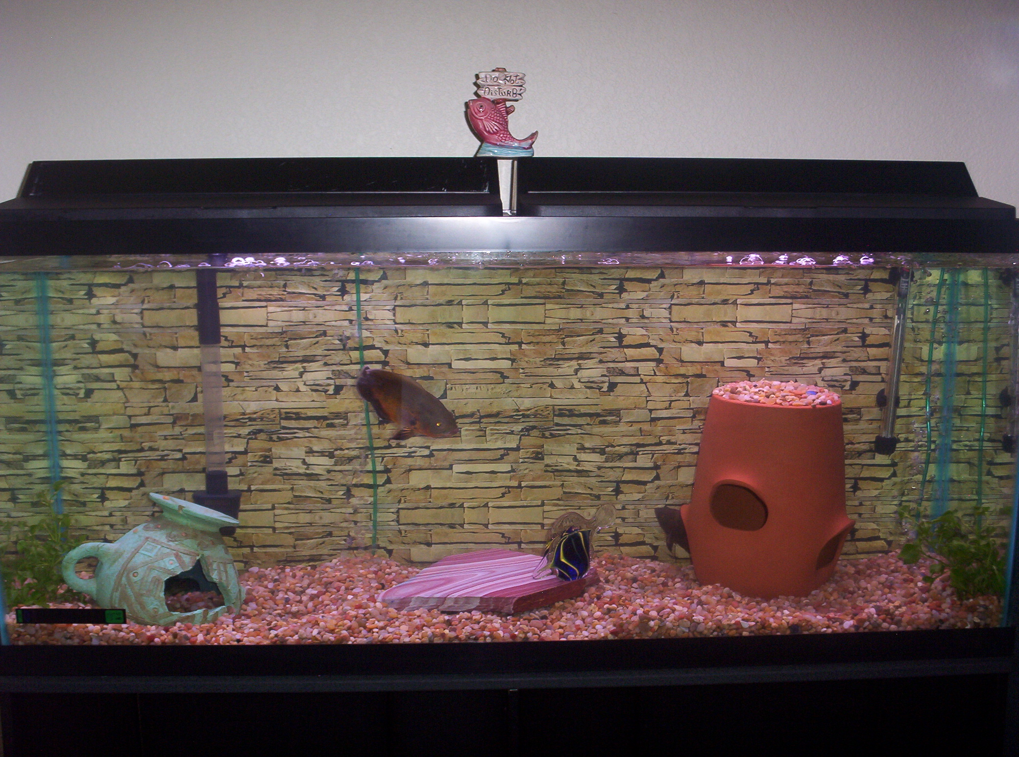 34581 45 Gallon Cichlid Tank 10 Gallon  munity 1 Gallon Guppy in addition Setting Up Fish Tank For Keeping Aquarium Fish Aquarium Fish Aquarium additionally Viewtopic moreover Showthread furthermore A feeder in front of Bronco a wild oscar. on oscar cichlid in 10 gal tank