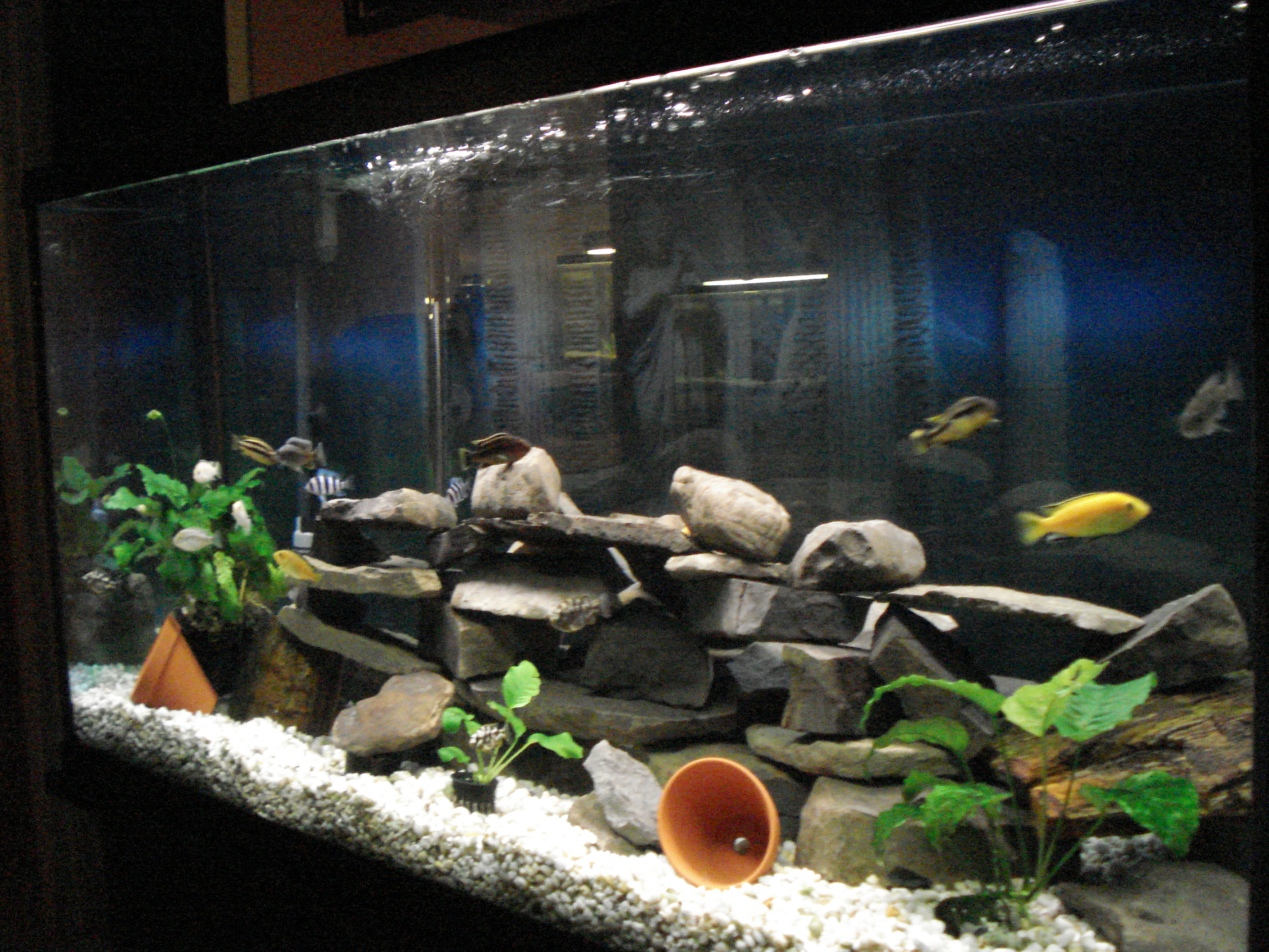 Cichlid tanks for African cichlid tank decoration