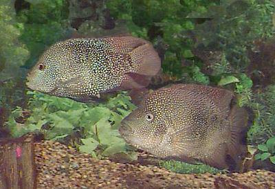 cichlids.com: Rio Grande Perch, or Texas Cichlid!!! (NOT MINE!!)