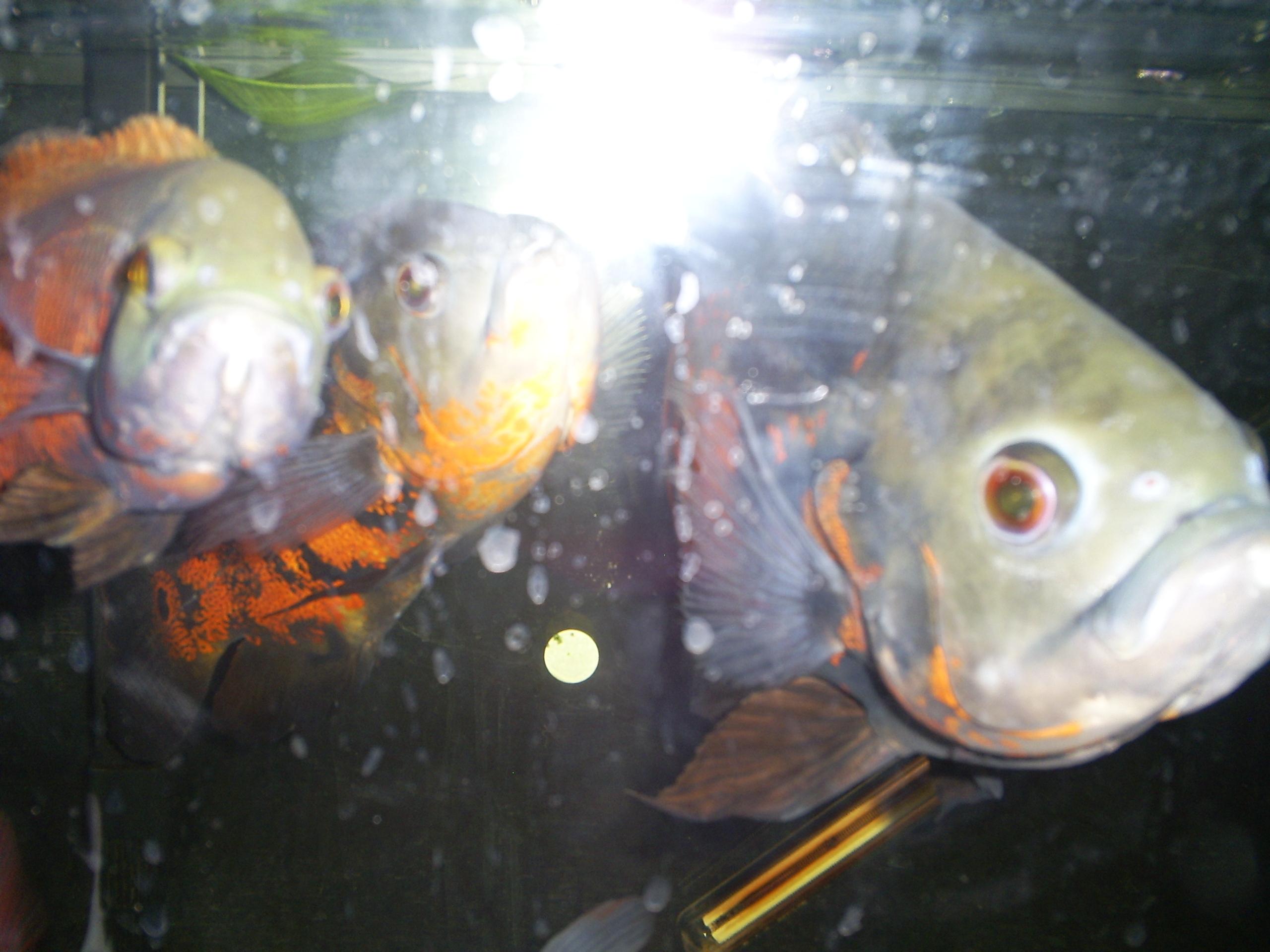Full grown oscar fish - photo#6