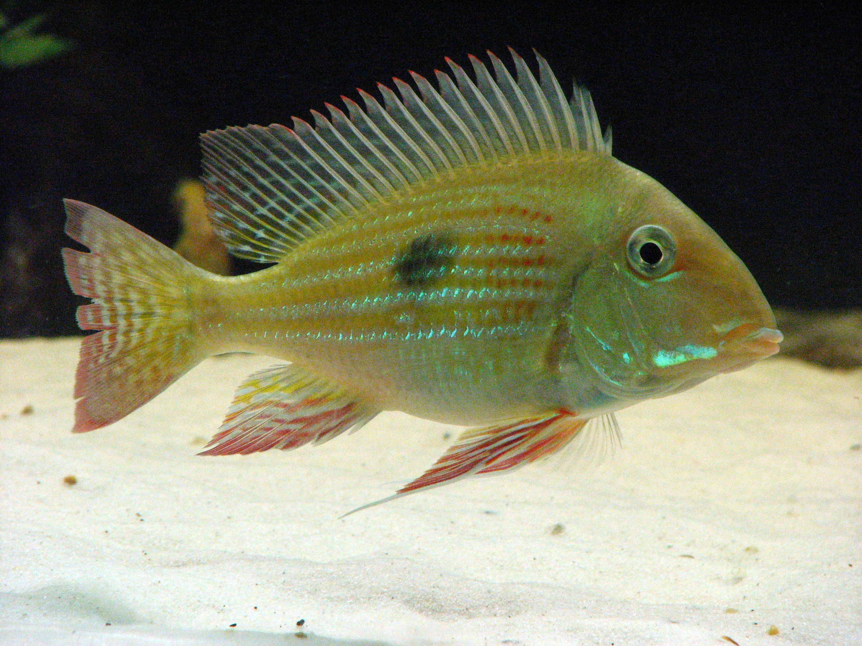 geophagus altifrons the geophagus altifrons is a freshwater eartheater ...