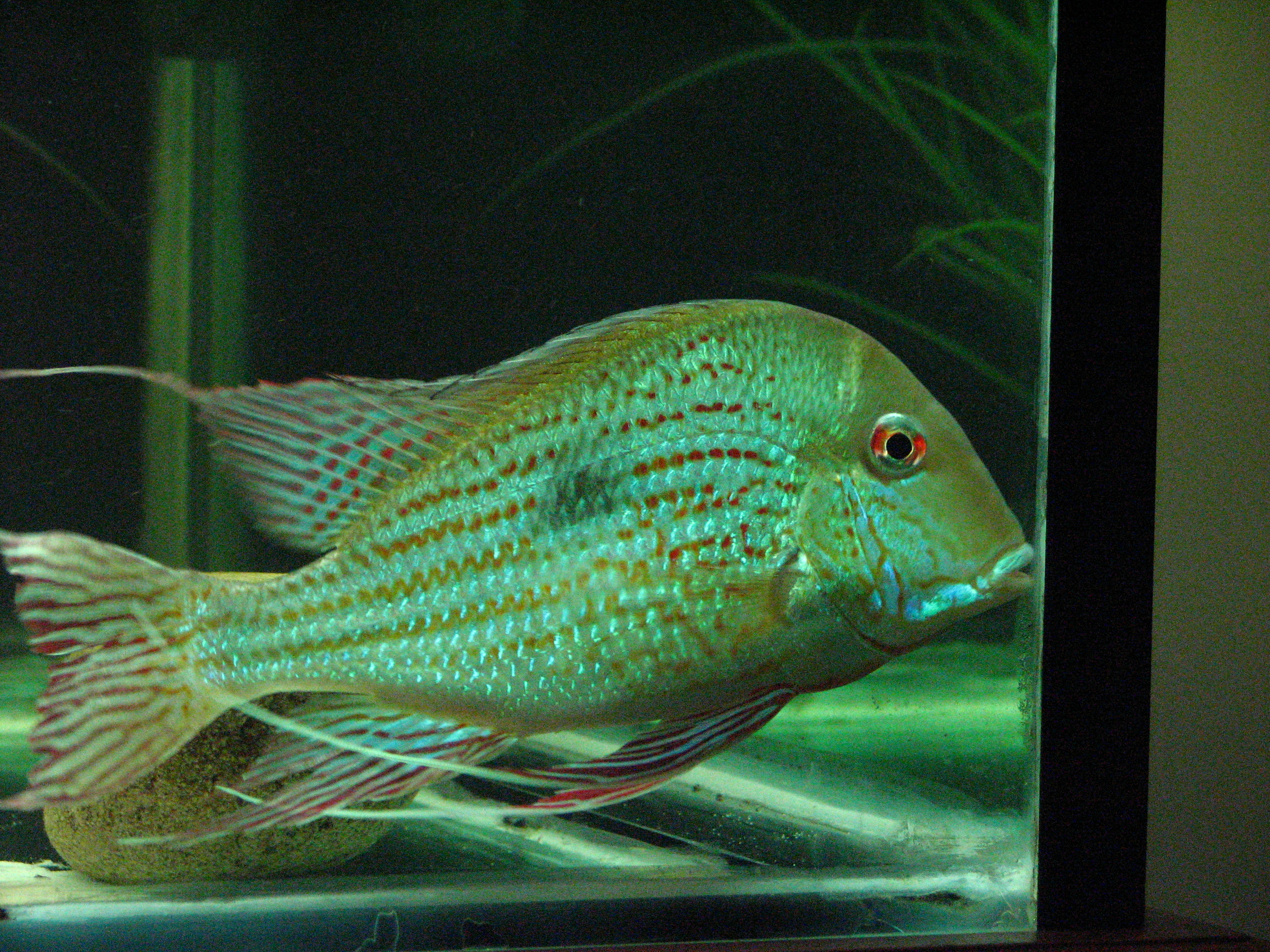 Geophagus Altifrons Rio Negro - YouTube