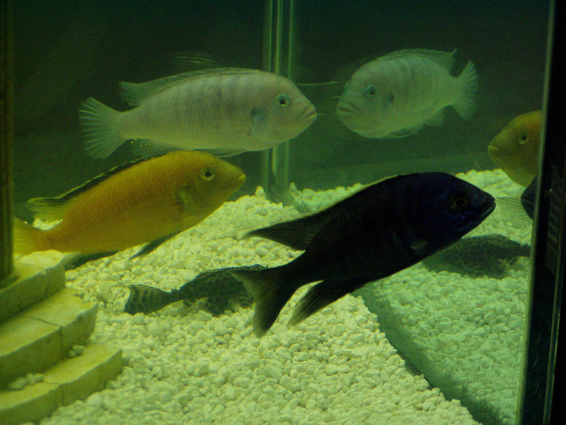 African cichlid fish tank car interior design for African cichlid fish