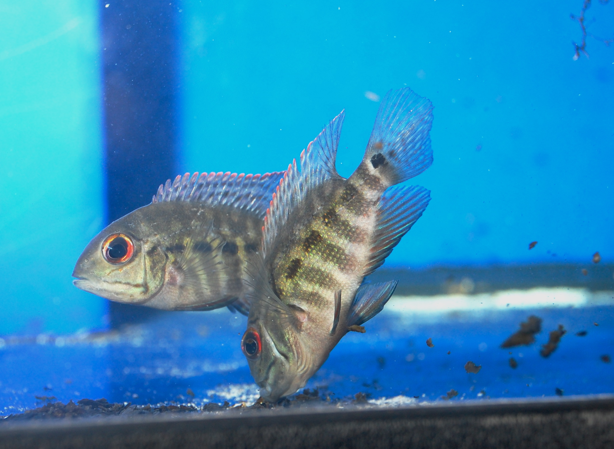 True parrot pair for sale picture from for Parrot fish for sale