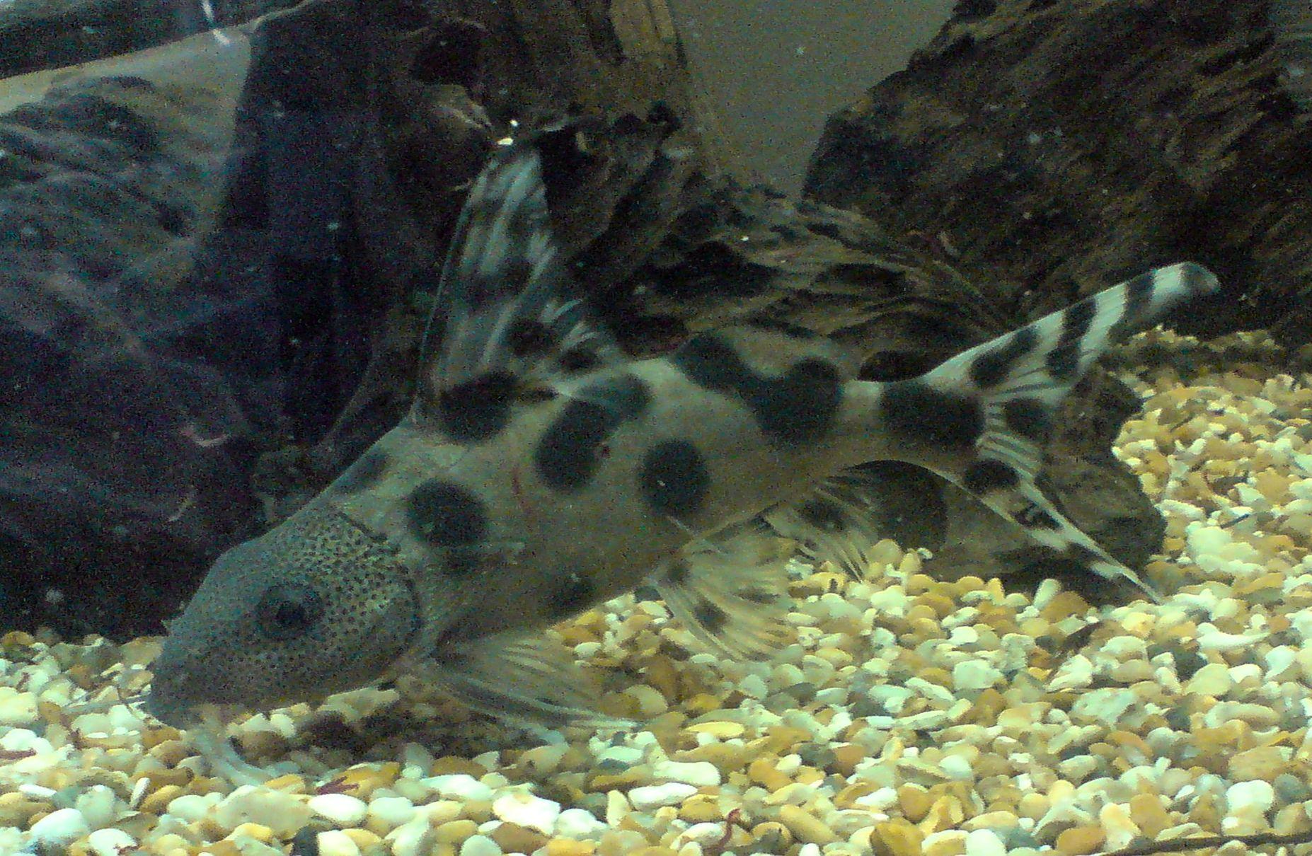 cichlids.com: sharky my Synodontis decorus