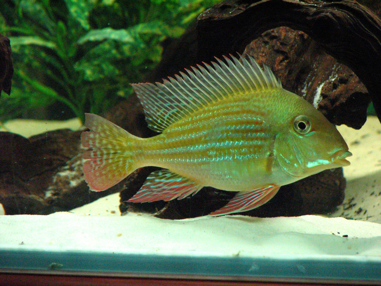 cichlids.com: Geophagus sp