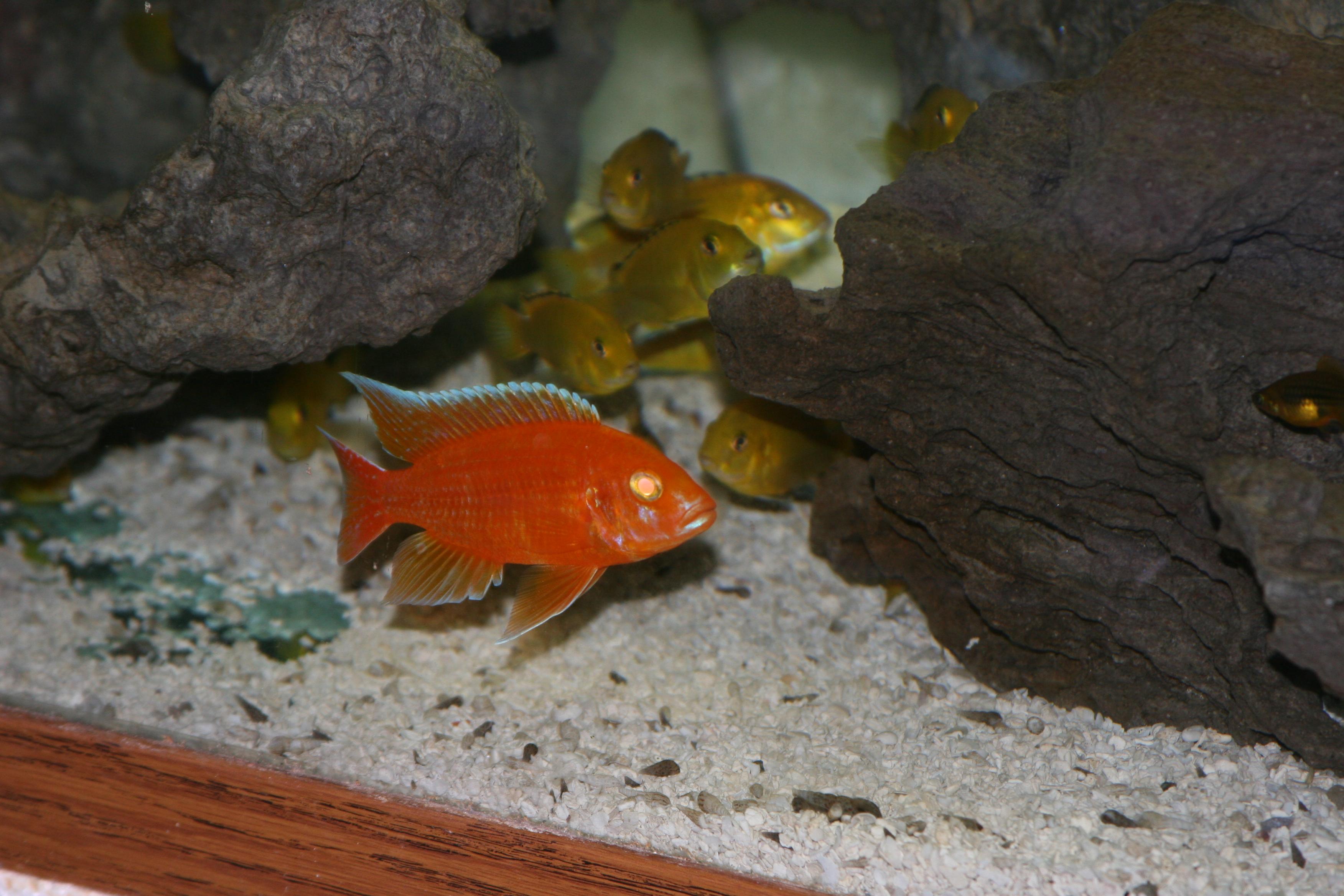 cichlids.com: Albino Red Diamond Peacock