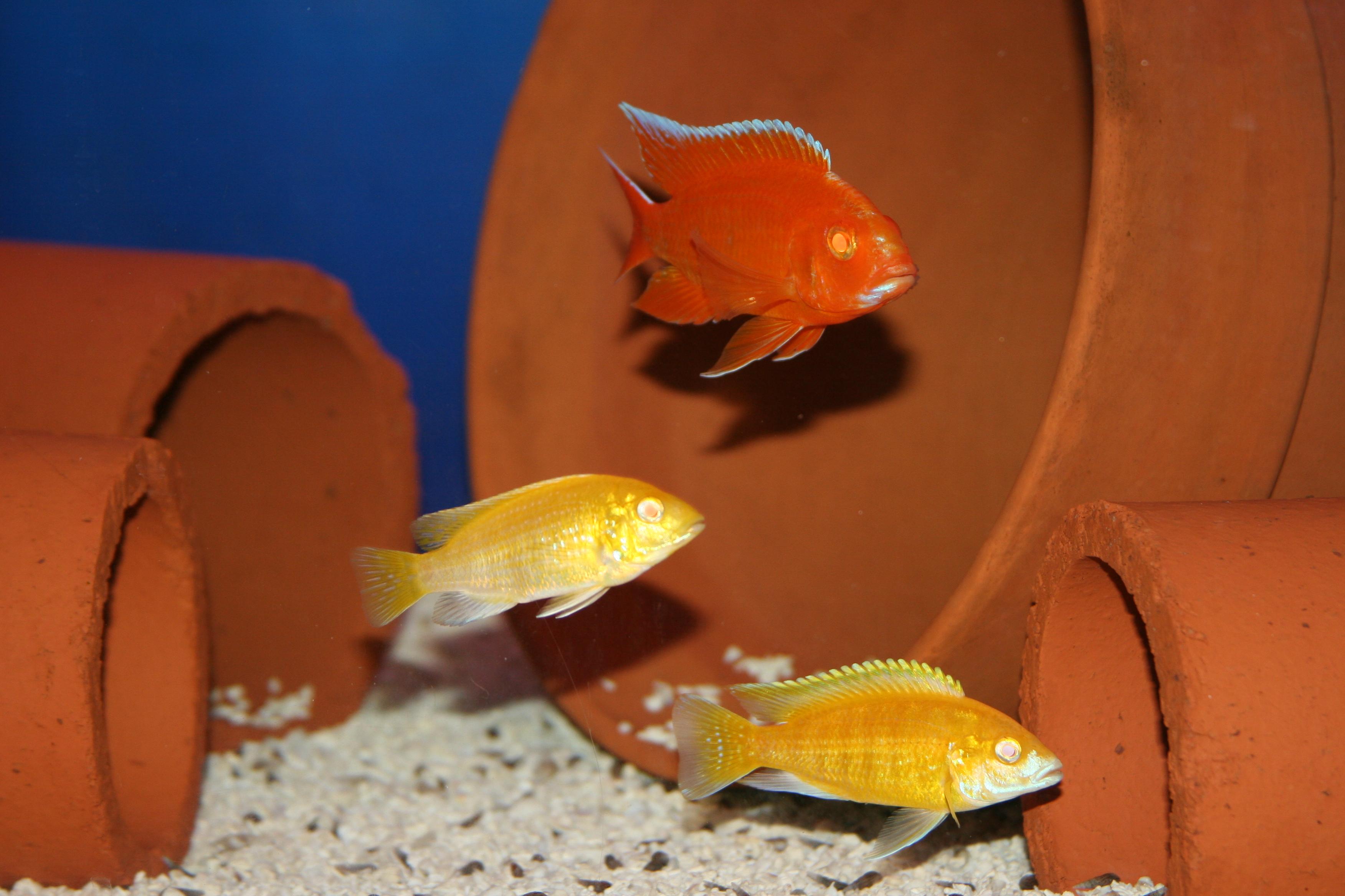 cichlids.com: Albino Red Diamond Peacock and Albino Yellow ...