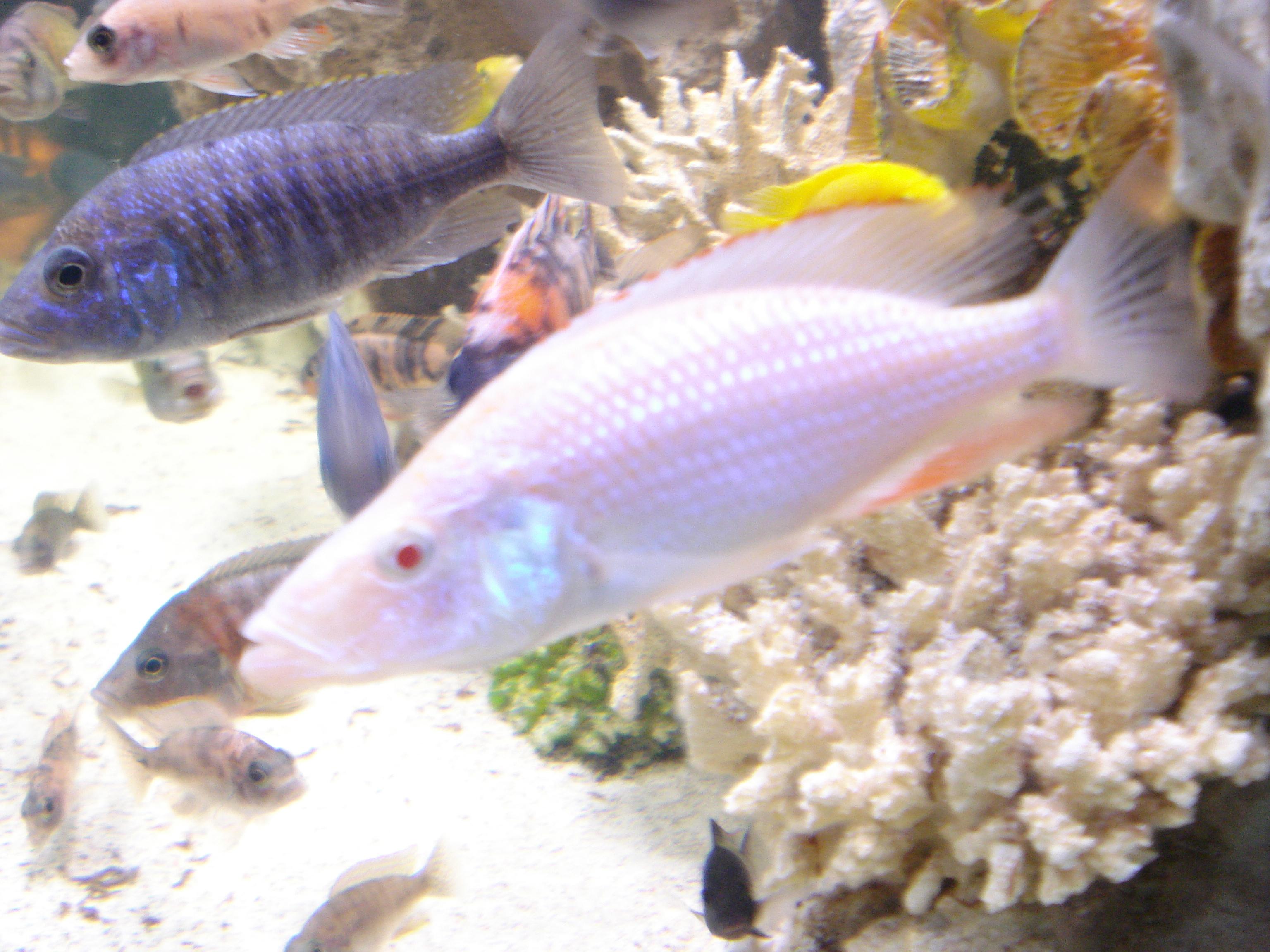 cichlids.com: albino eye biter