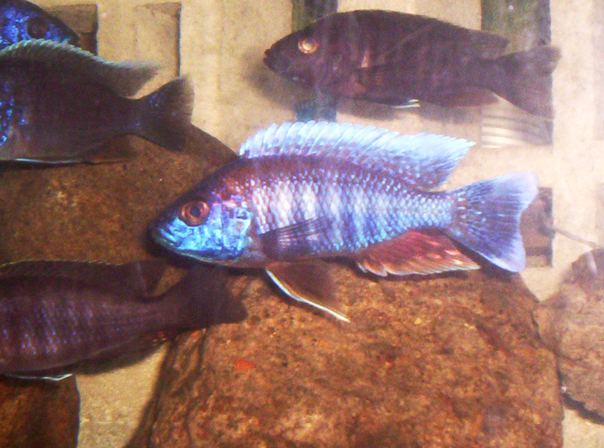 cichlids.com: eureka red peacock