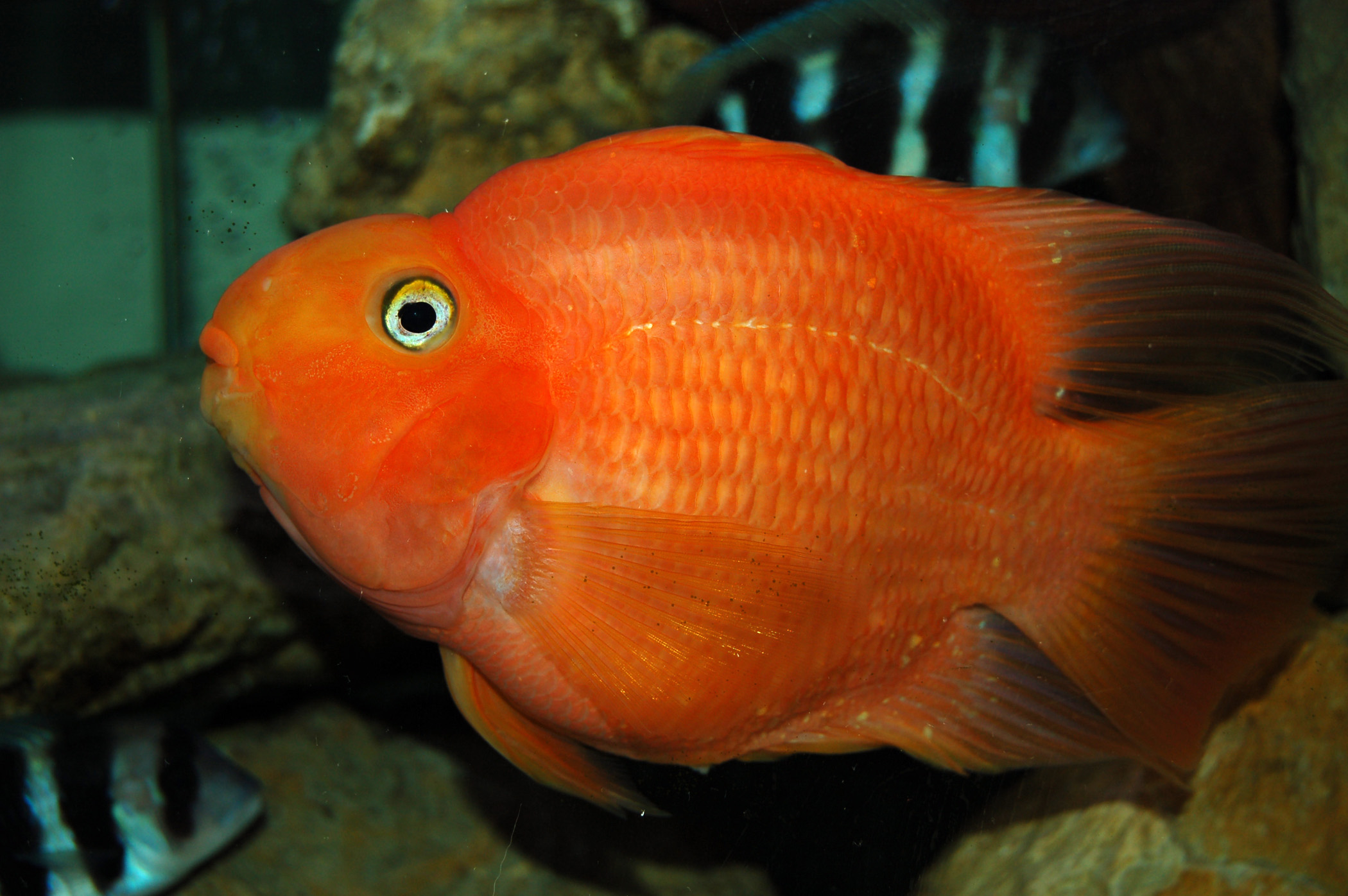 Bruce a giant parrot fish 8 15 08 first for Parrot fish for sale
