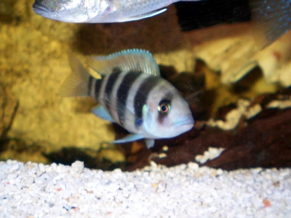 Baby Frontosa Cichlid cichlids.com: baby fon...