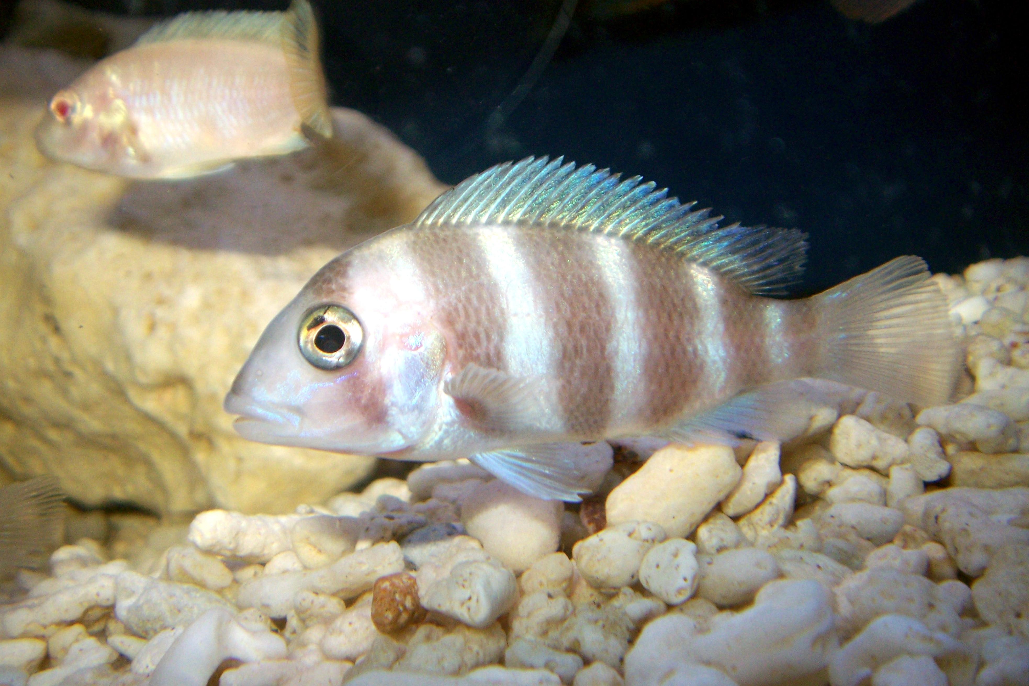 Baby Frontosa Cichlid cichlids.com: red fron...
