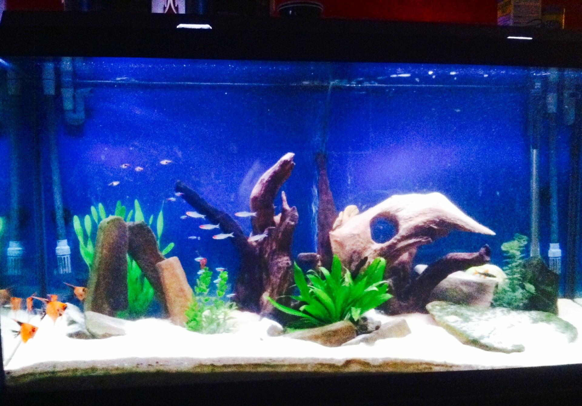 90 gallon koi angelfish aquarium for Koi aquarium