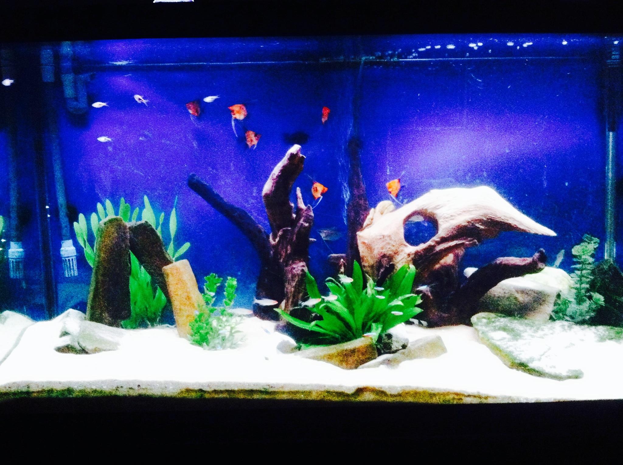 90 gallon koi angel aquarium for Koi im aquarium