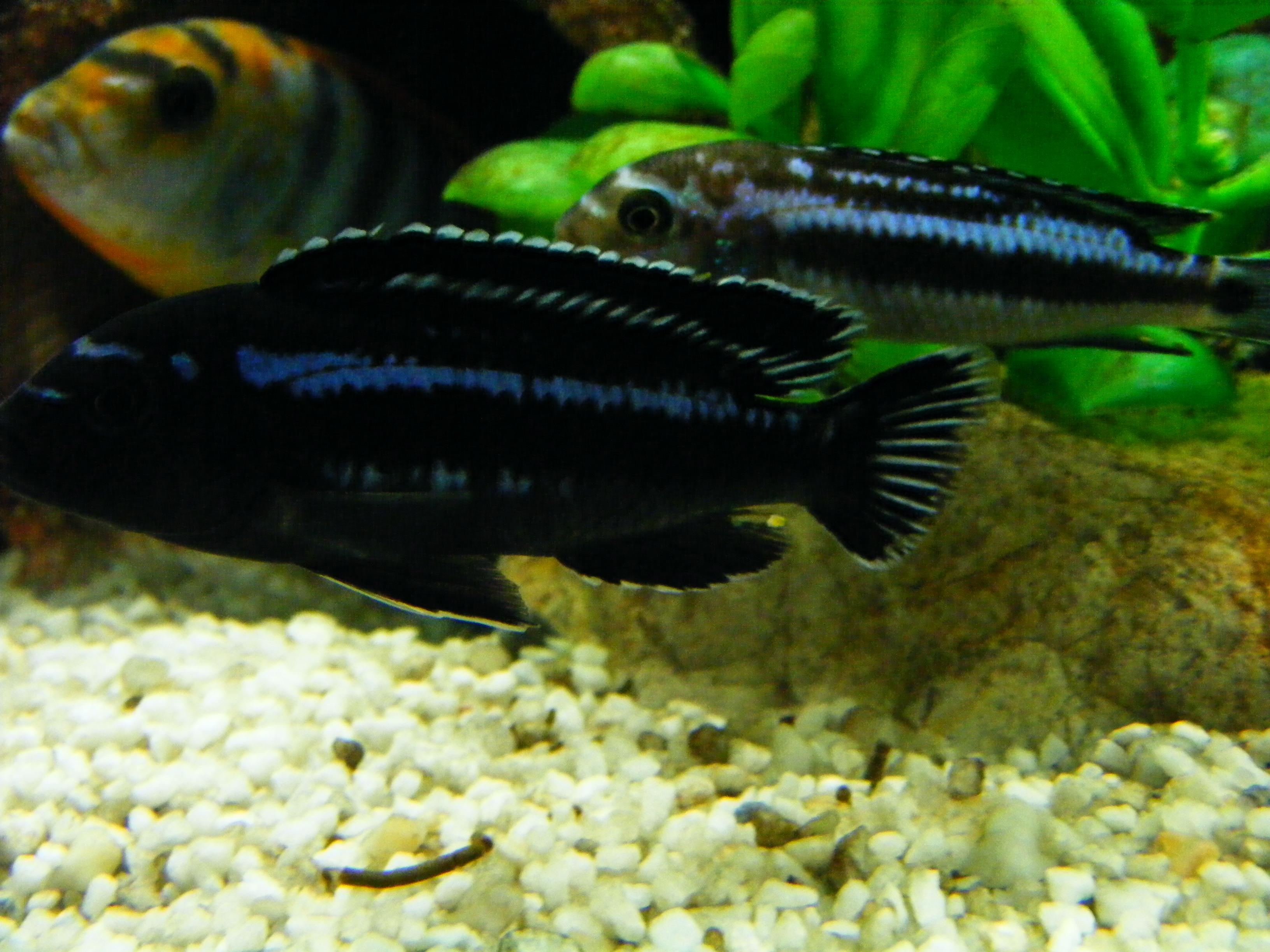 cichlids.com: JOHANNI MAINGANO COMBO..