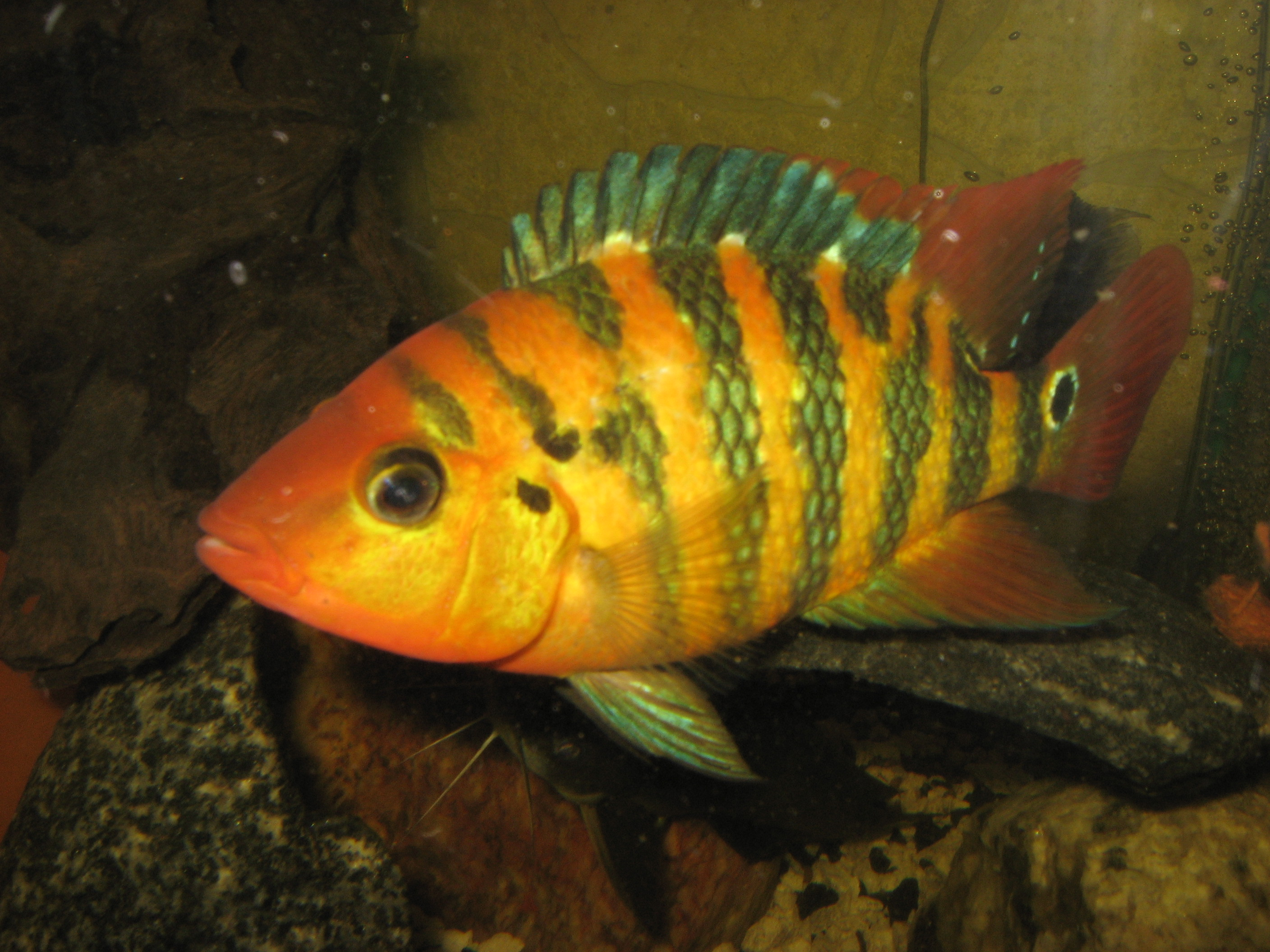 Red Terror Cichlid Related Keywords & Suggestions - Red Terror Cichlid ...