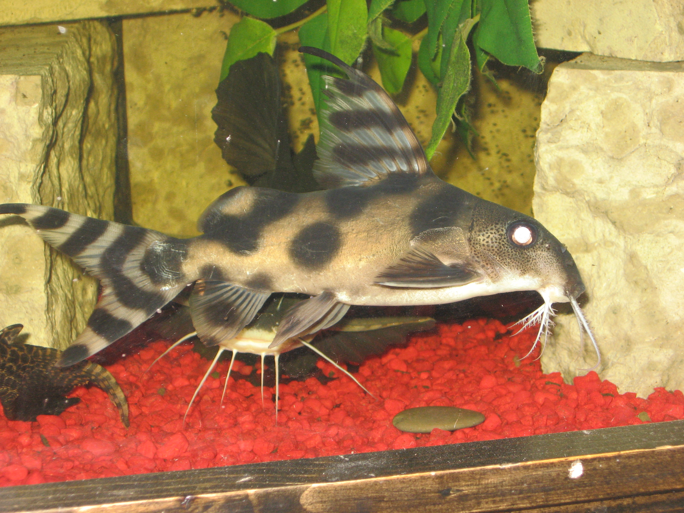 "cichlids.com: Clown Synodontis about 6"" (Decorus)"