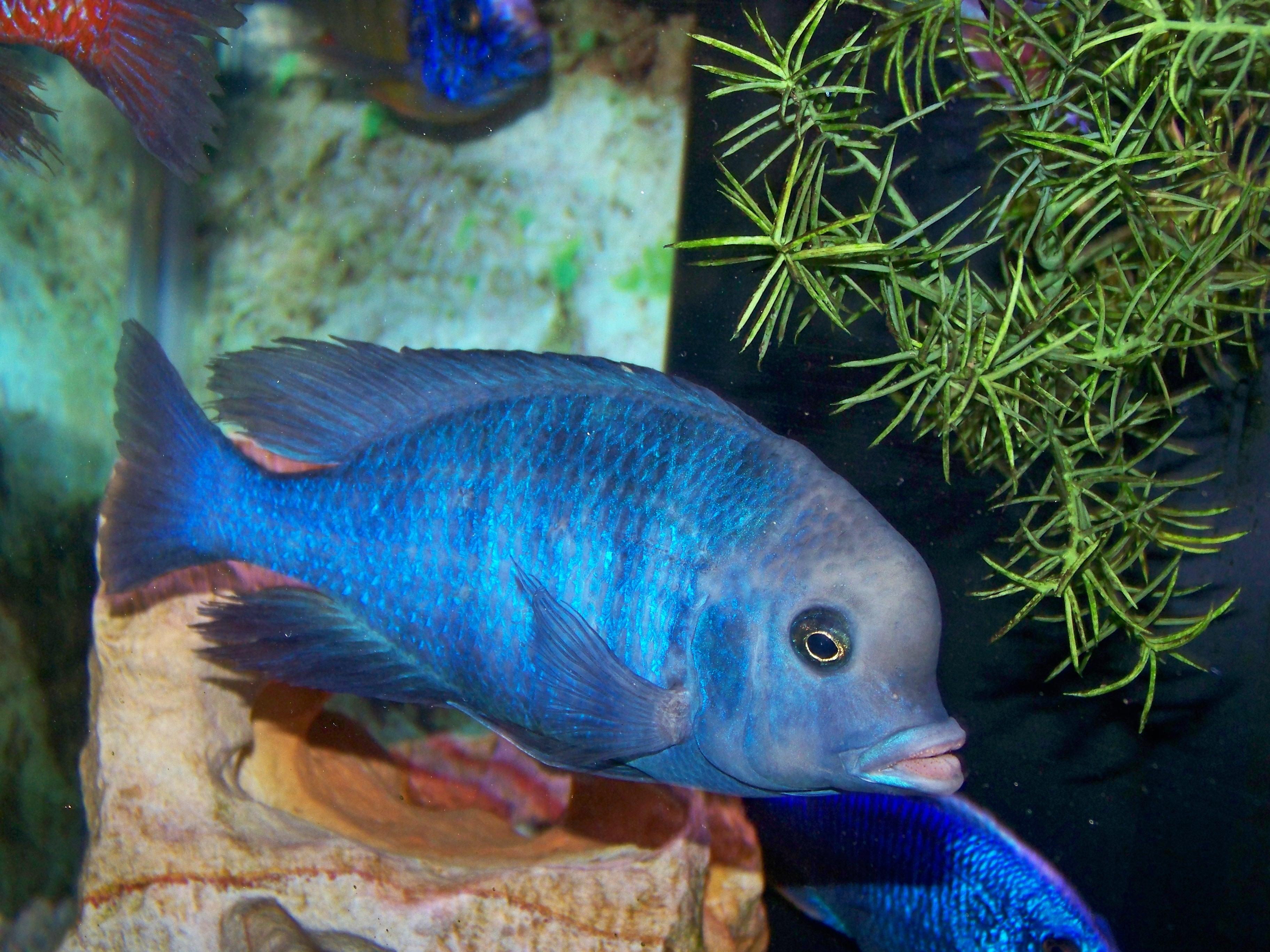 Lavender Cichild : cichlids.com: Blue Dolphin