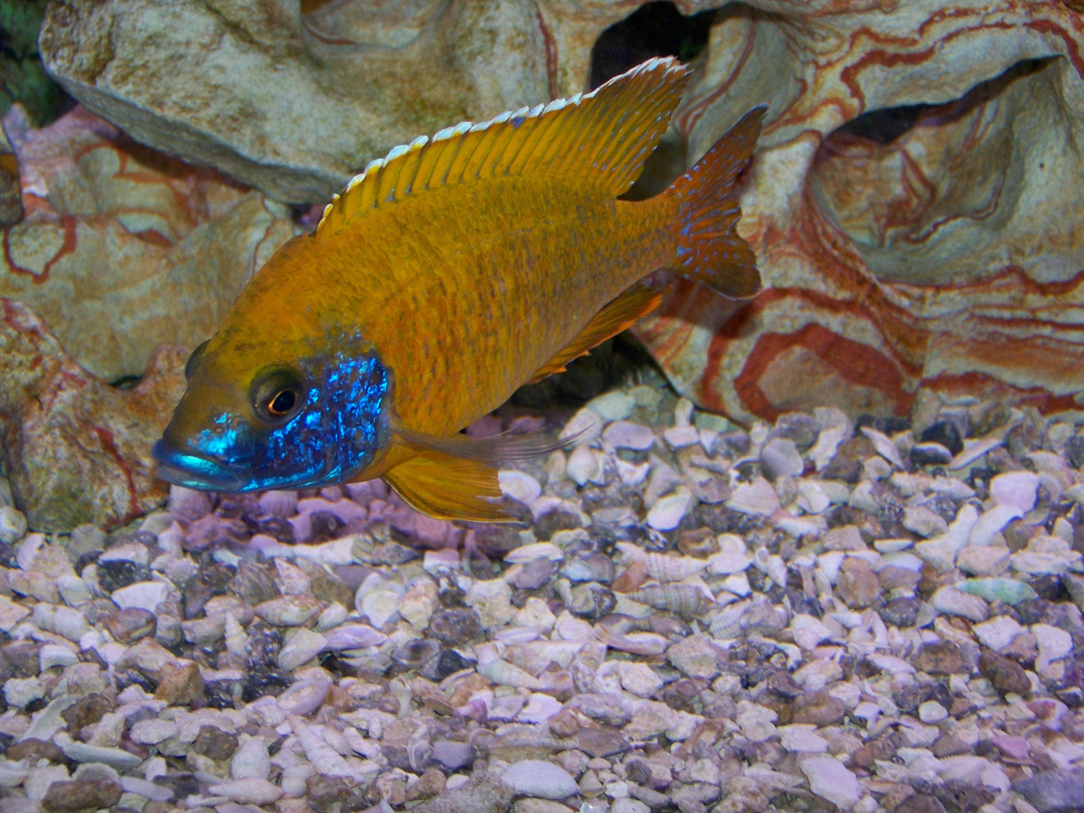 Lakes, Malawi cichlids and Cichlids on Pinterest