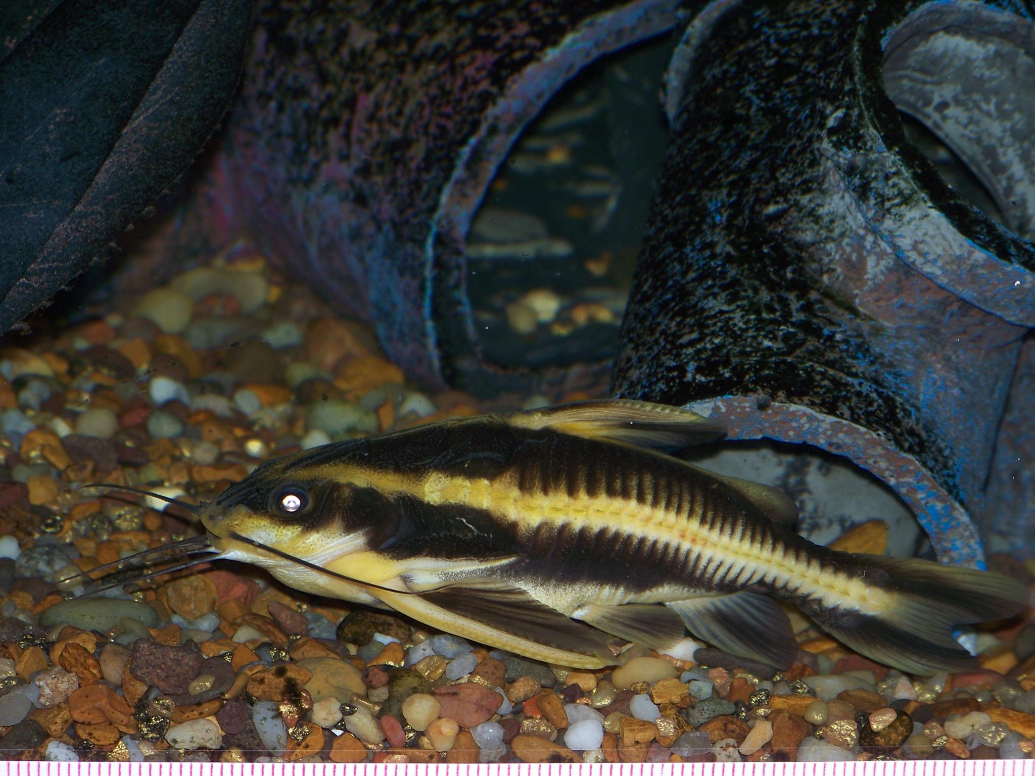 Striped raphael fish