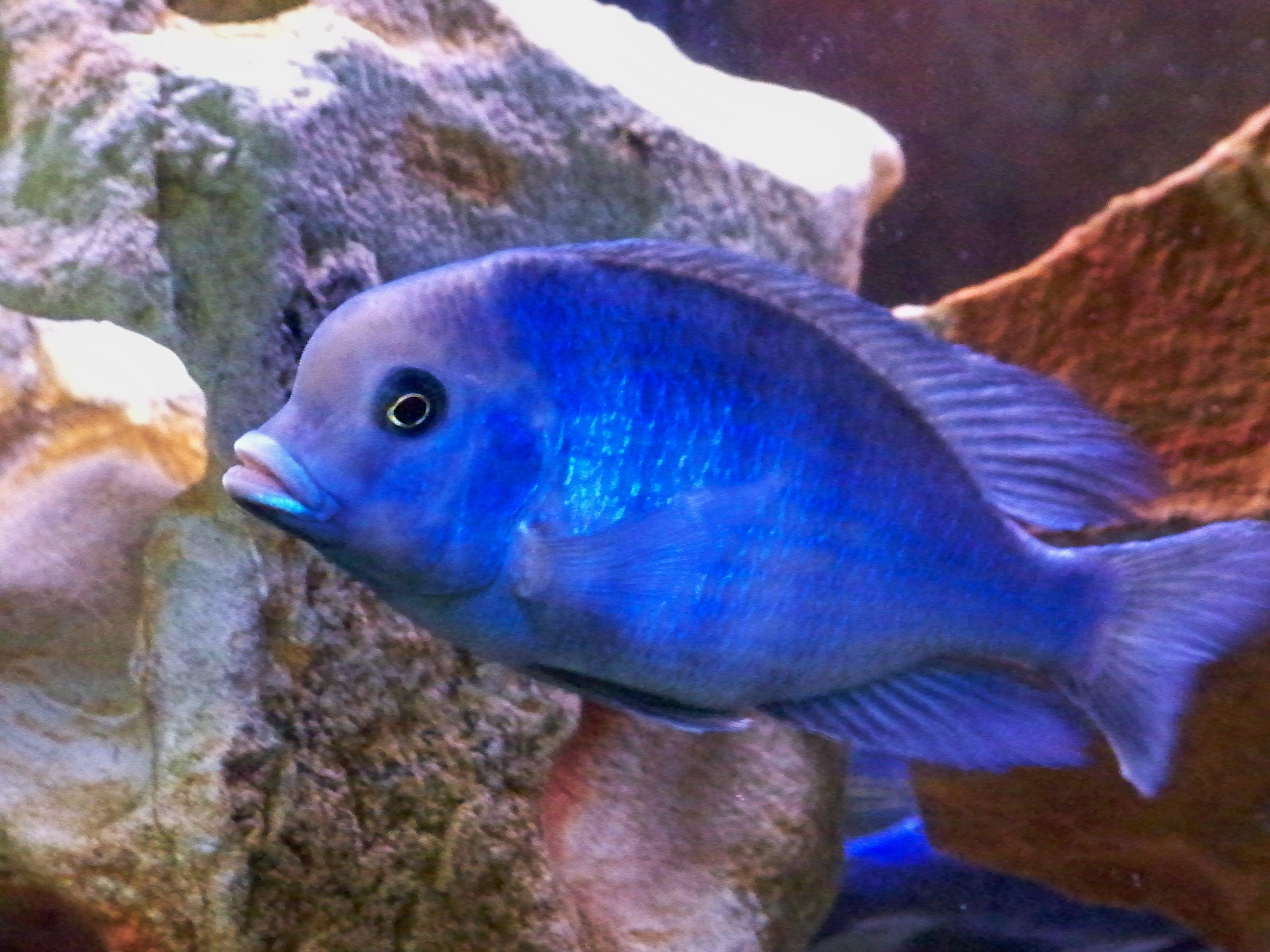 cichlids.com: Blue Dolphin